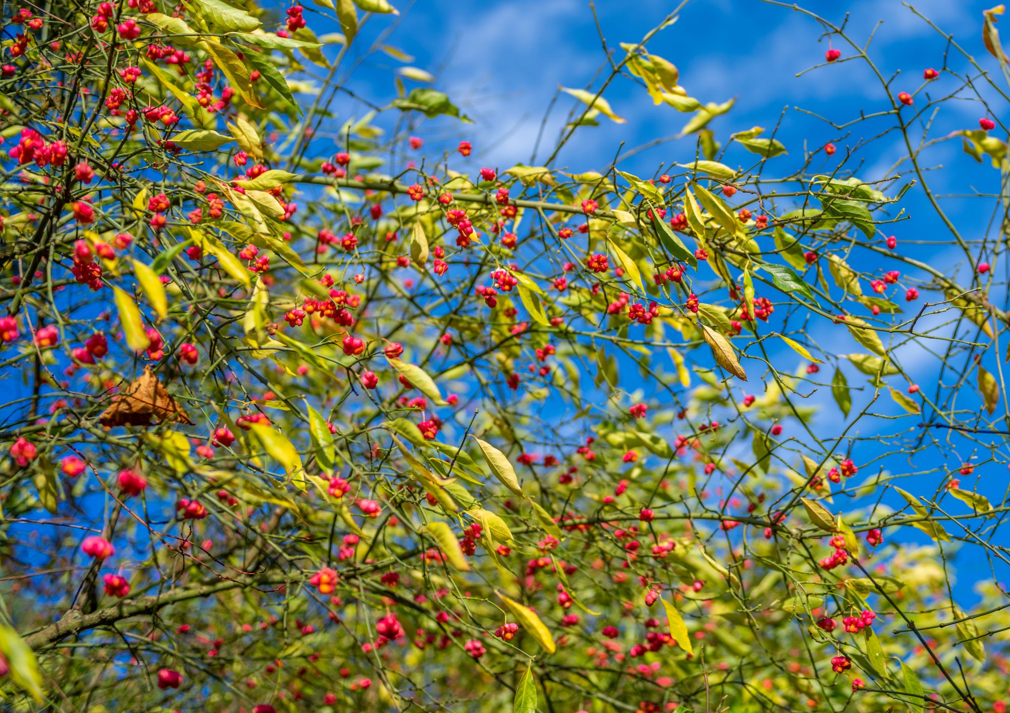spindle tree, or euonymus tree, in bloom