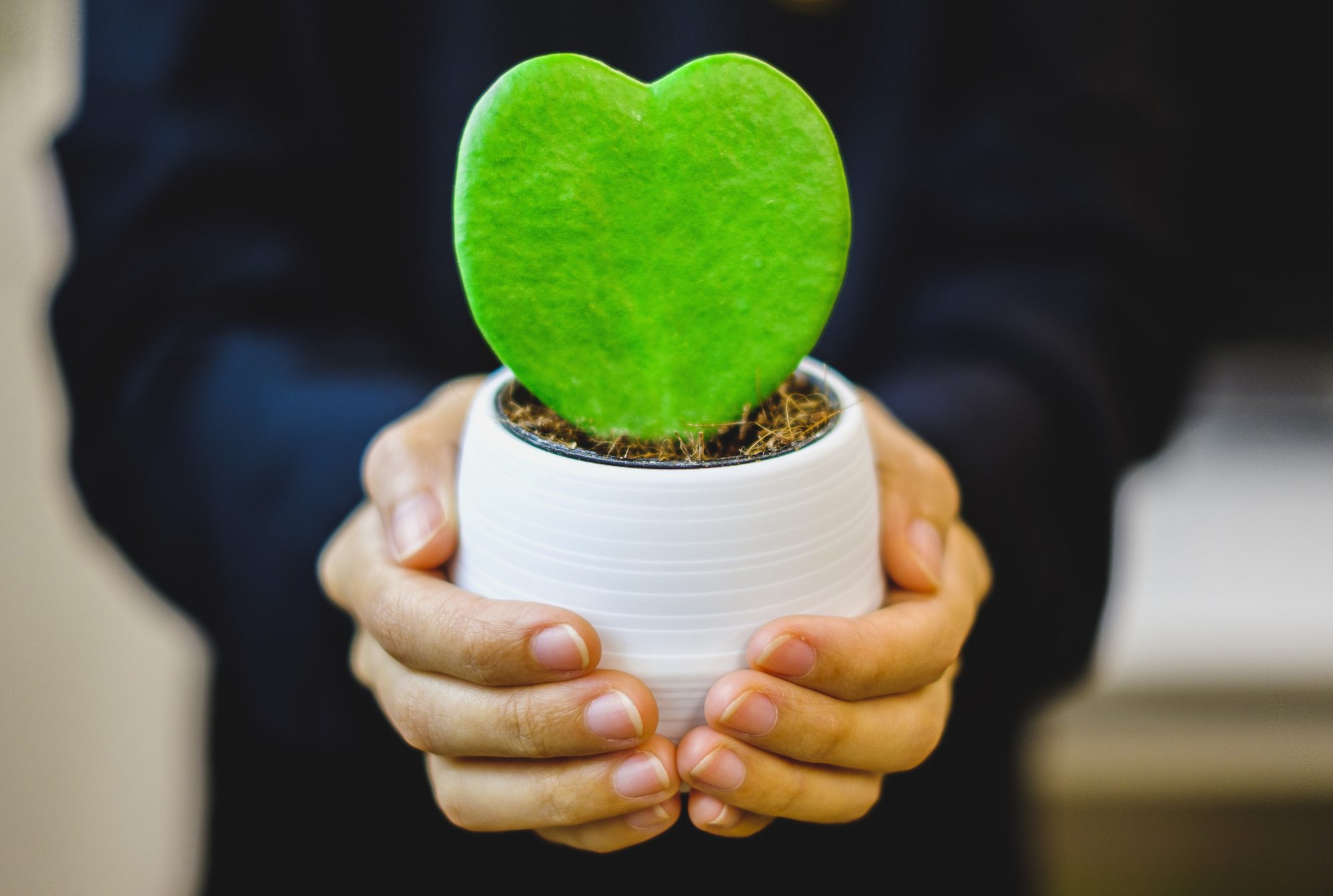 person holding a potted hoya plant