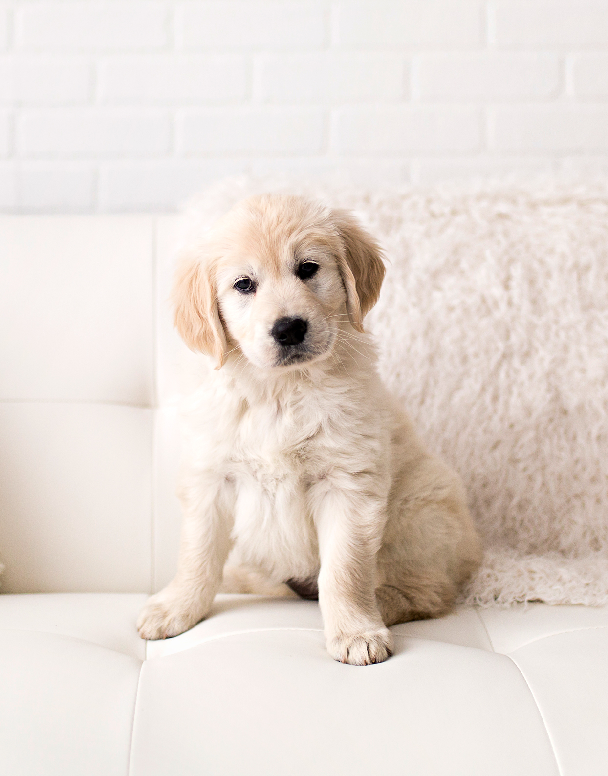 white dog on white couch