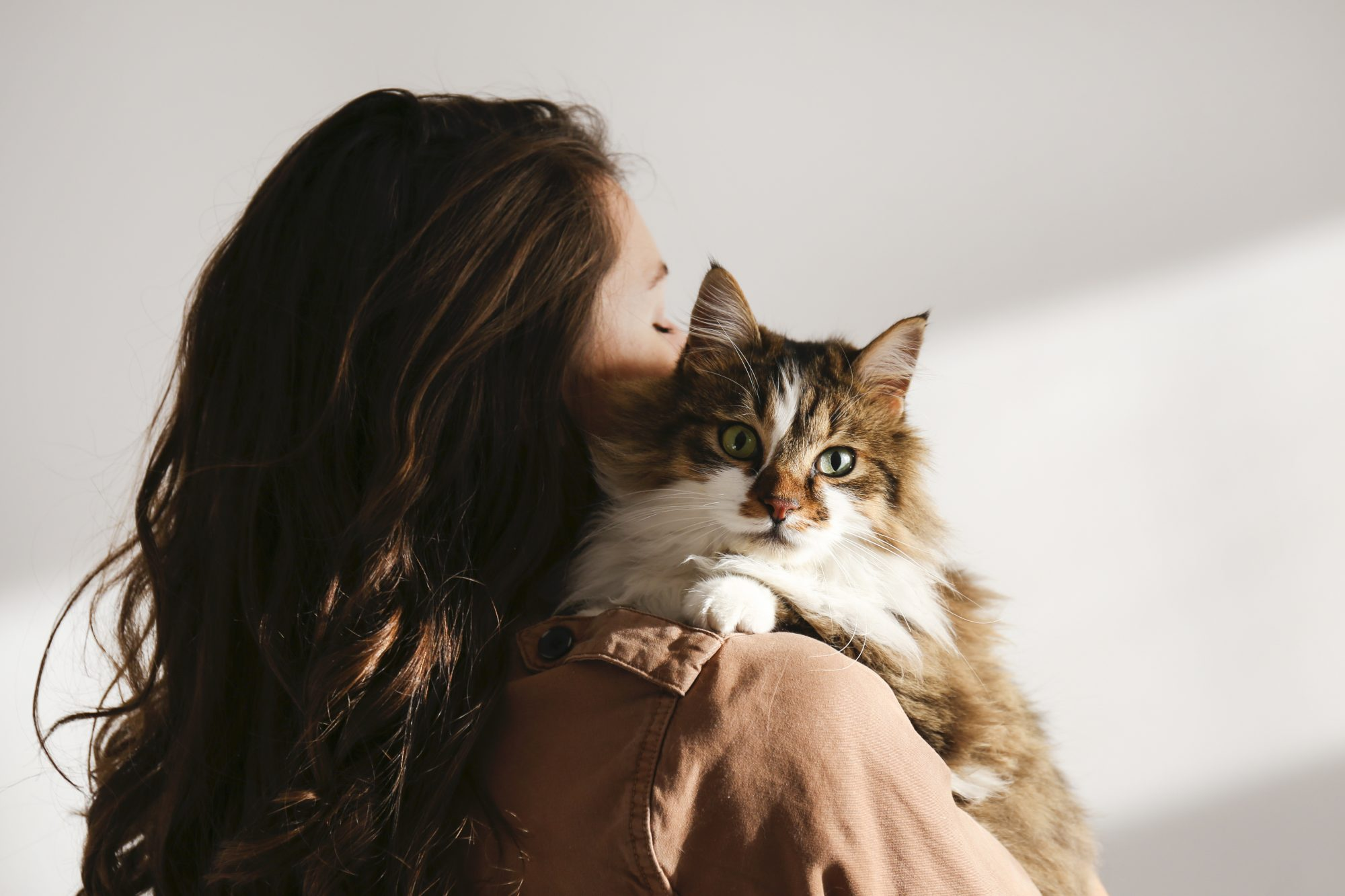 beautiful and fluffy tri colored tabby cat at home in owner's arms