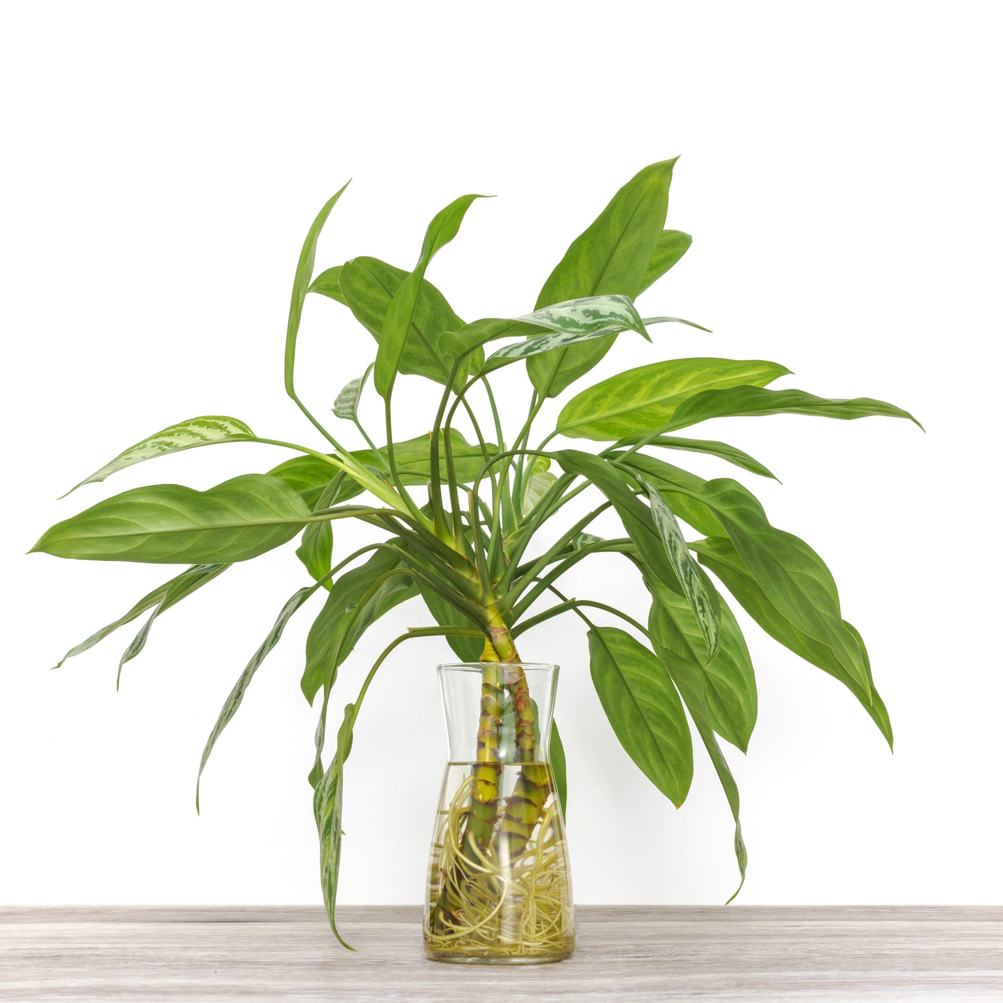 Chinese evergreen plant in glass vase