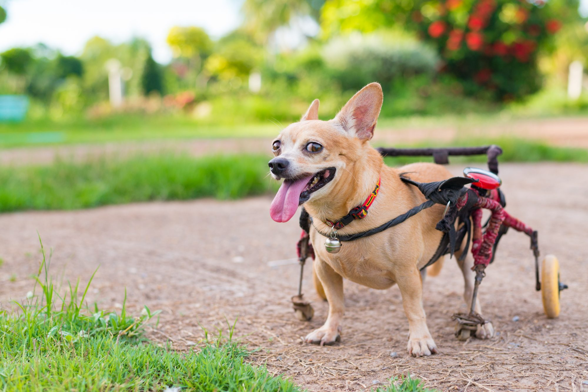 small dog in wheelchair outdoors