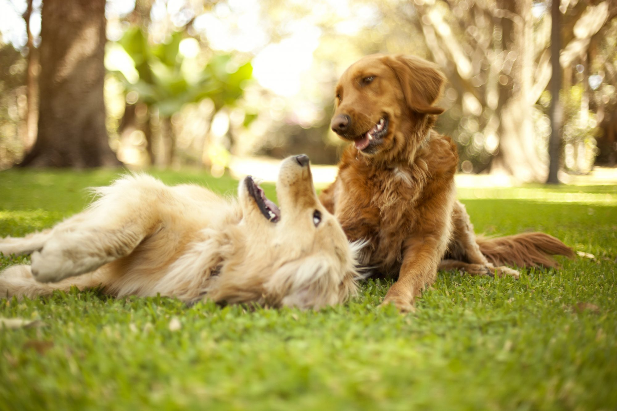 two golden retrievers playing in park