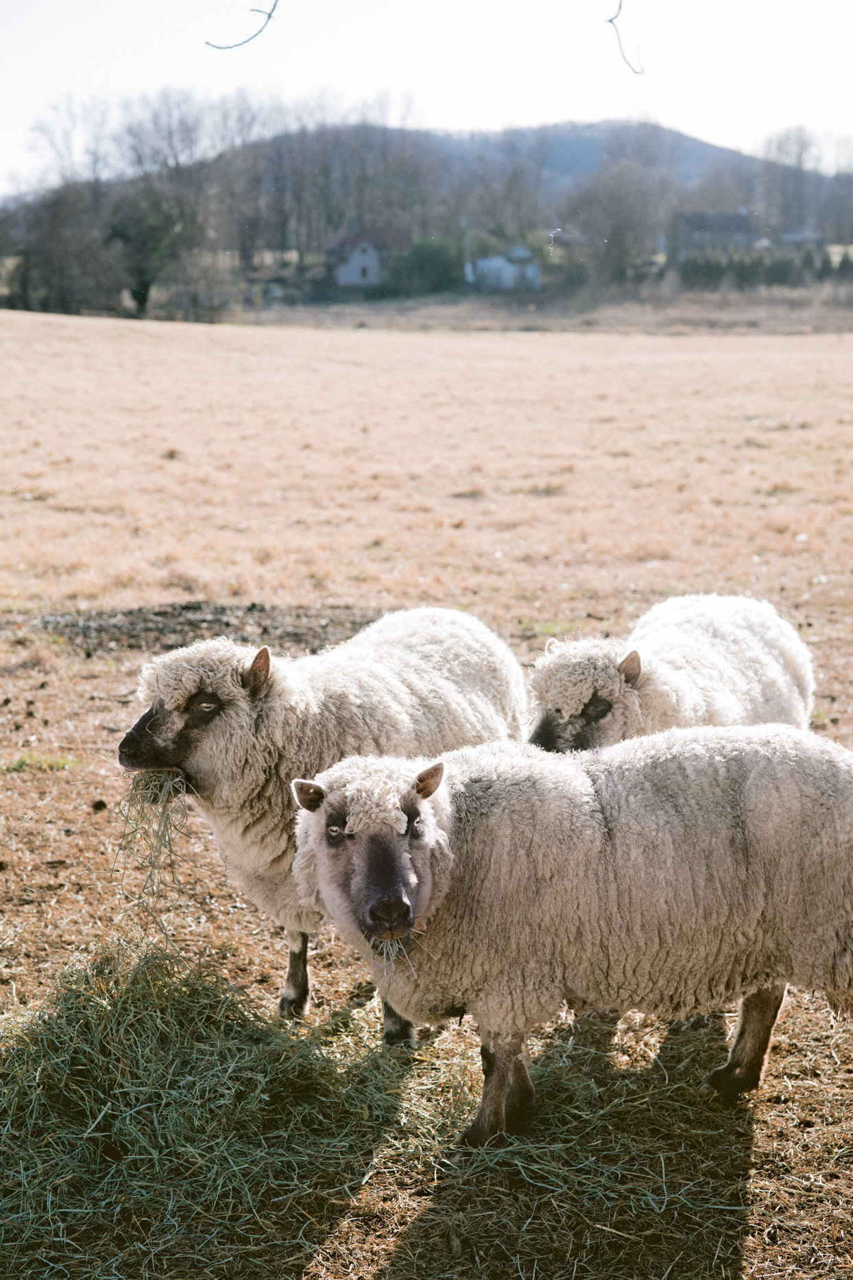 sheep eating in outdoor field area