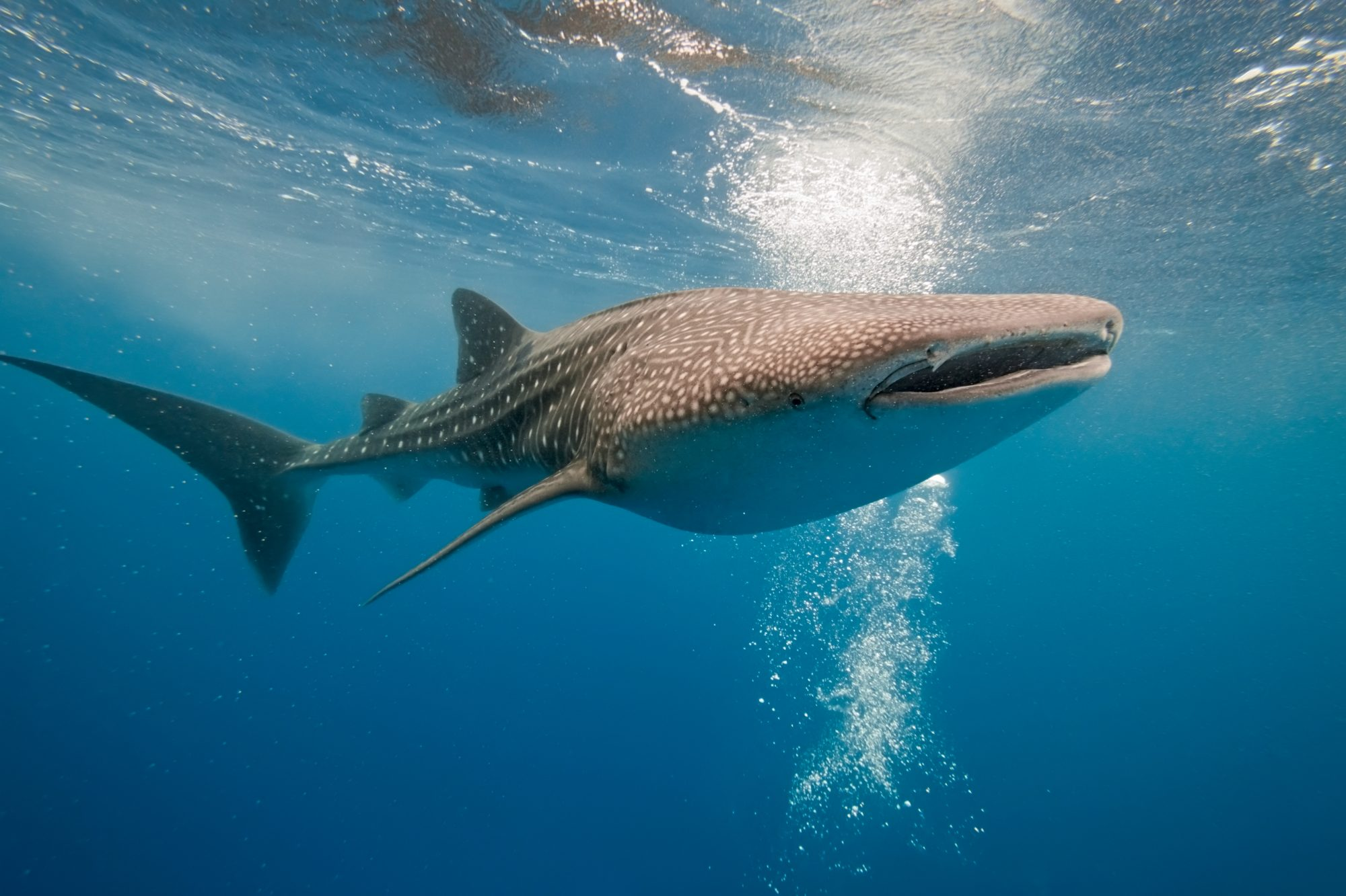 large whale shark in open water