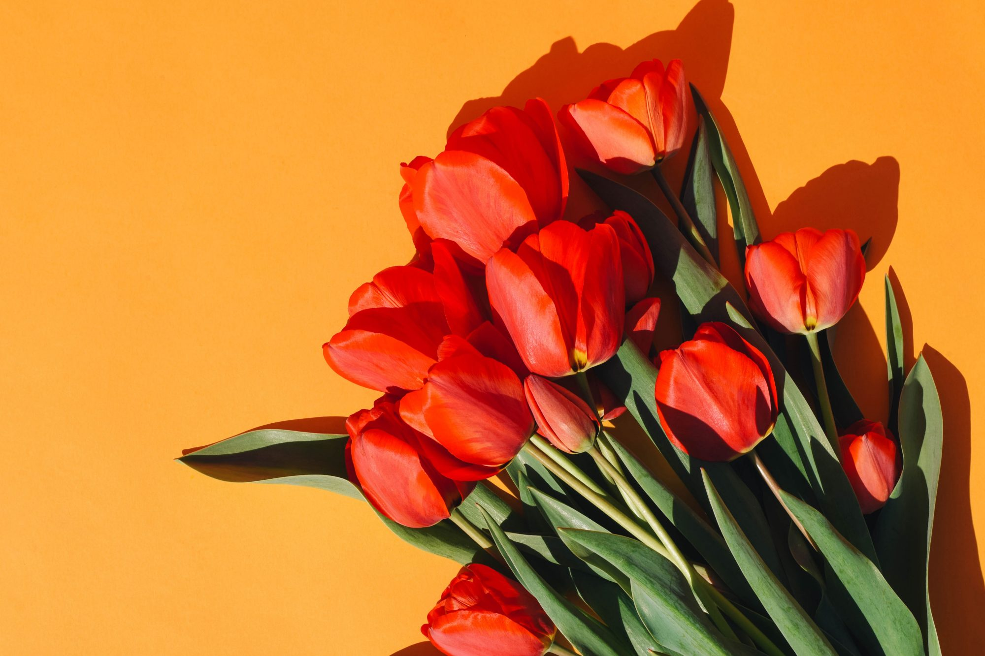 bouquet of red tulips on orange background