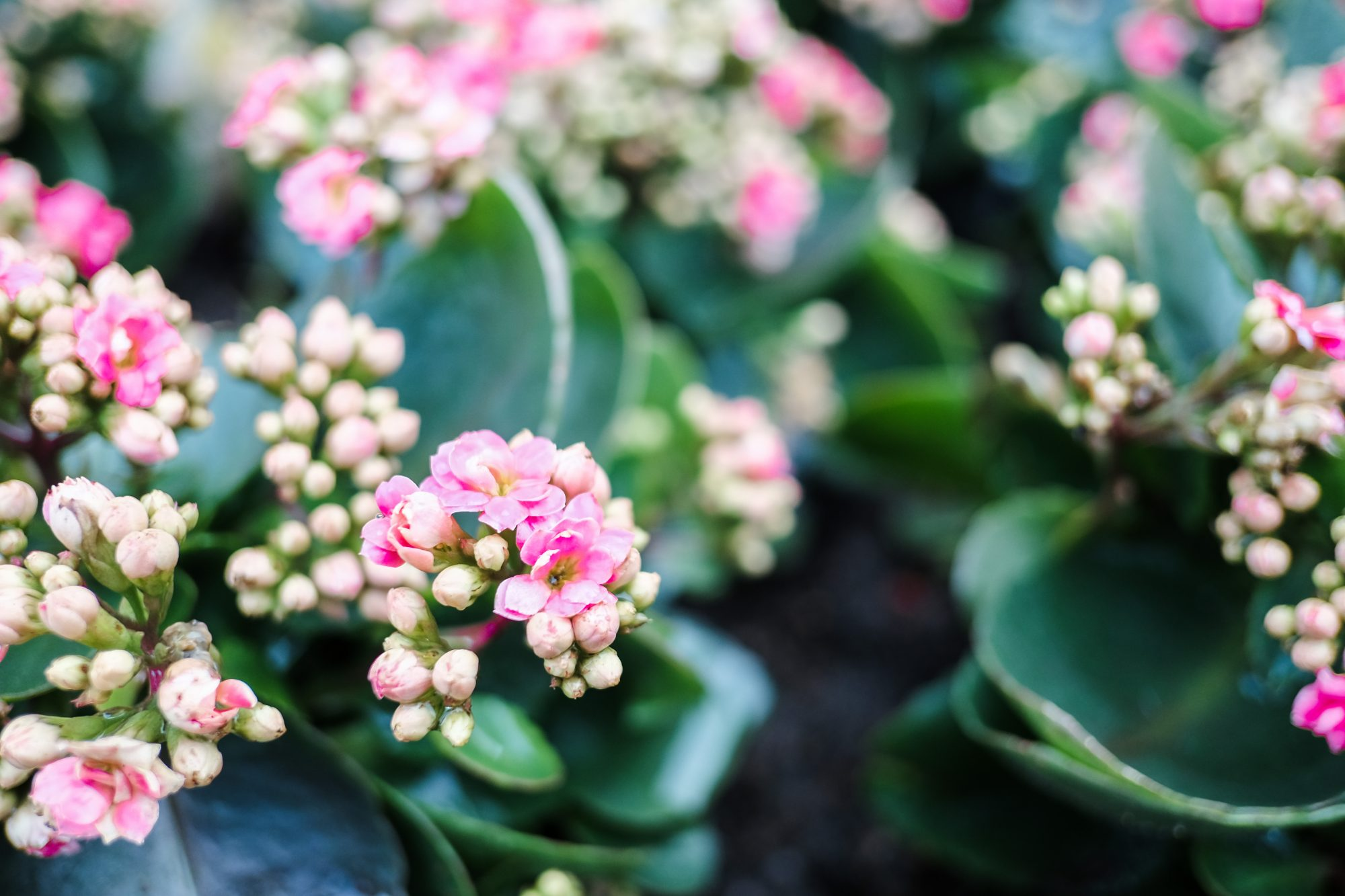 kalanchoe plant with pink flowers