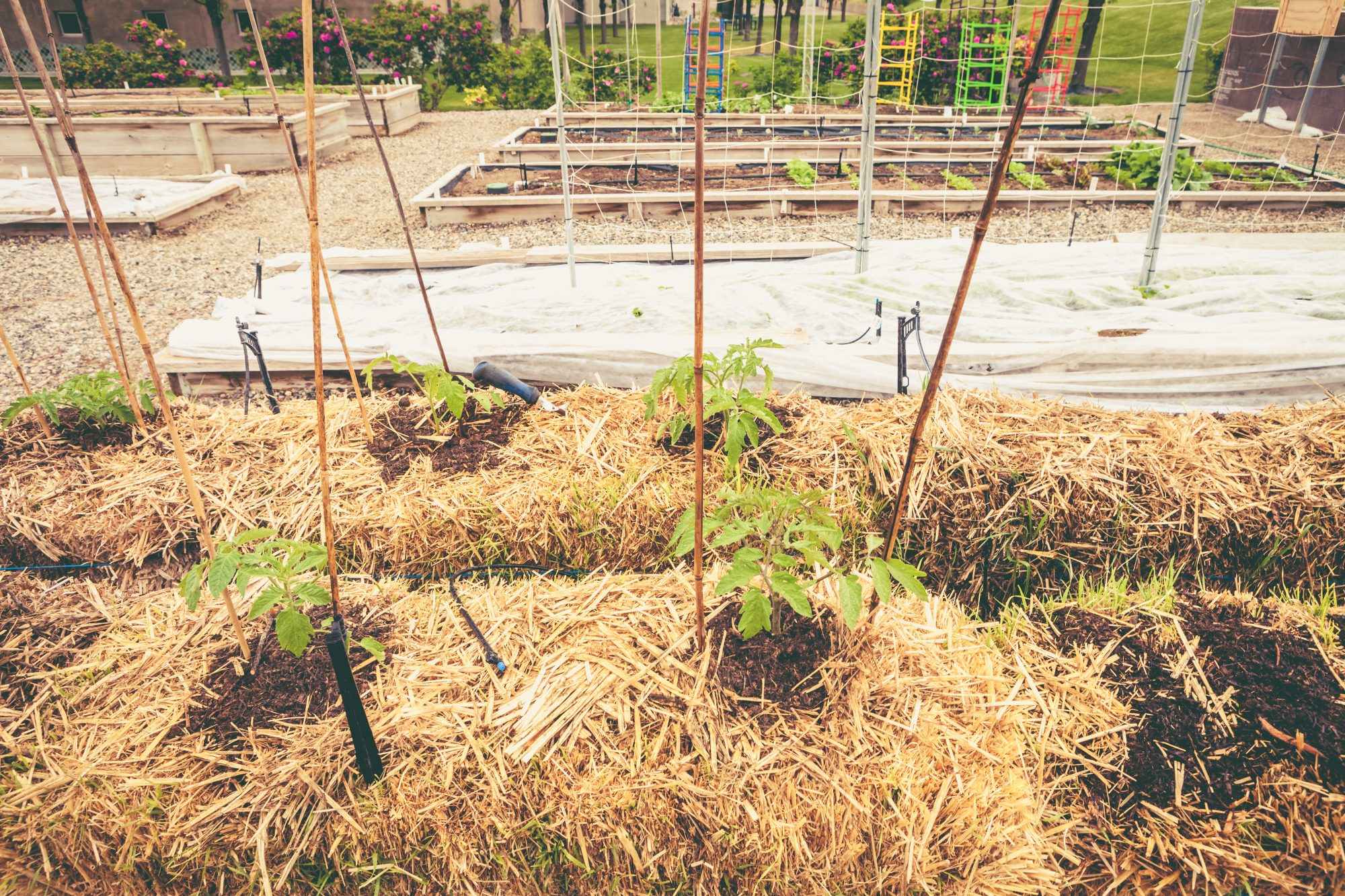 egetable Garden with Tomato Plants Growing From Straw Bales