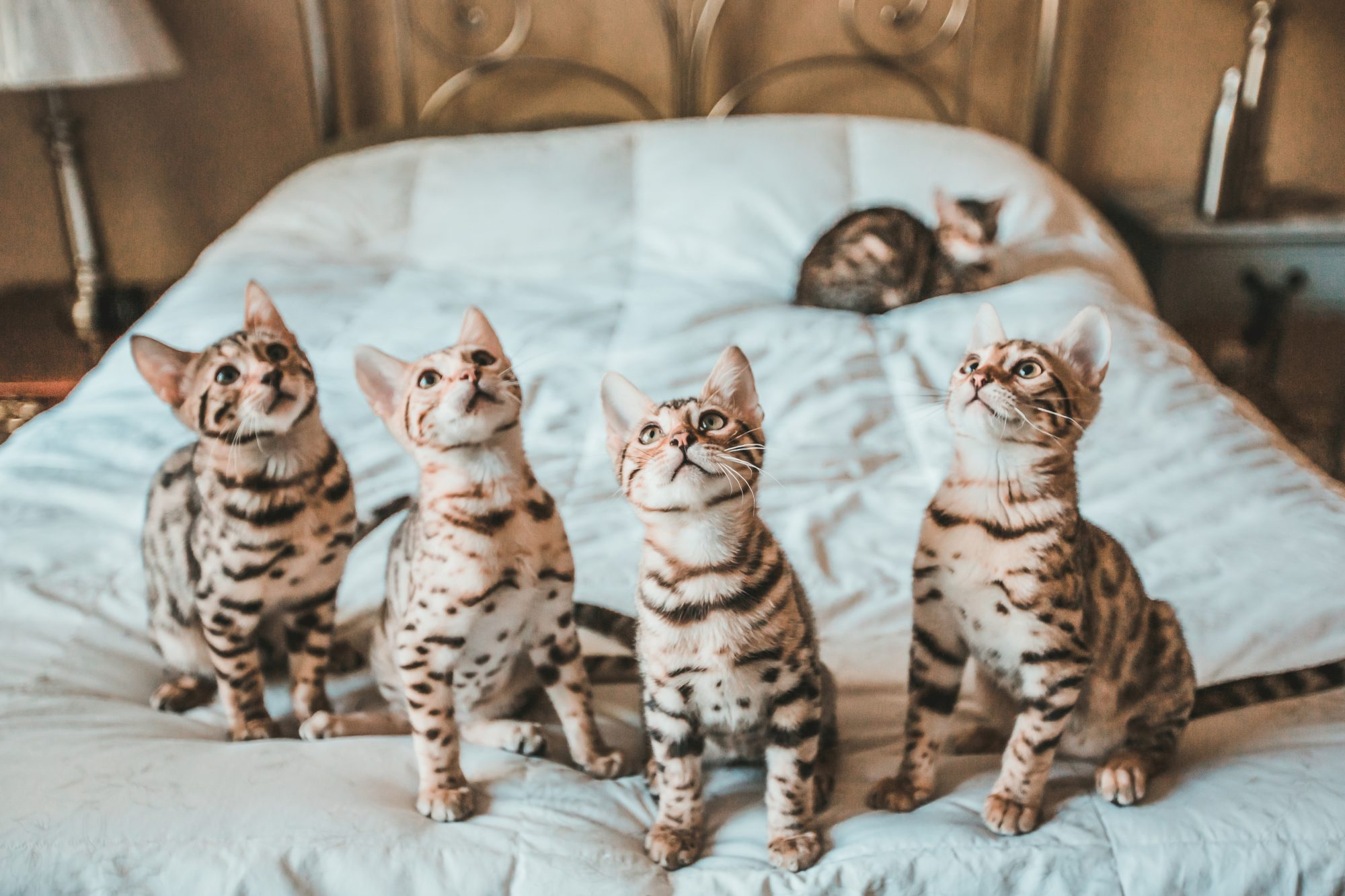five bengal kittens on bed
