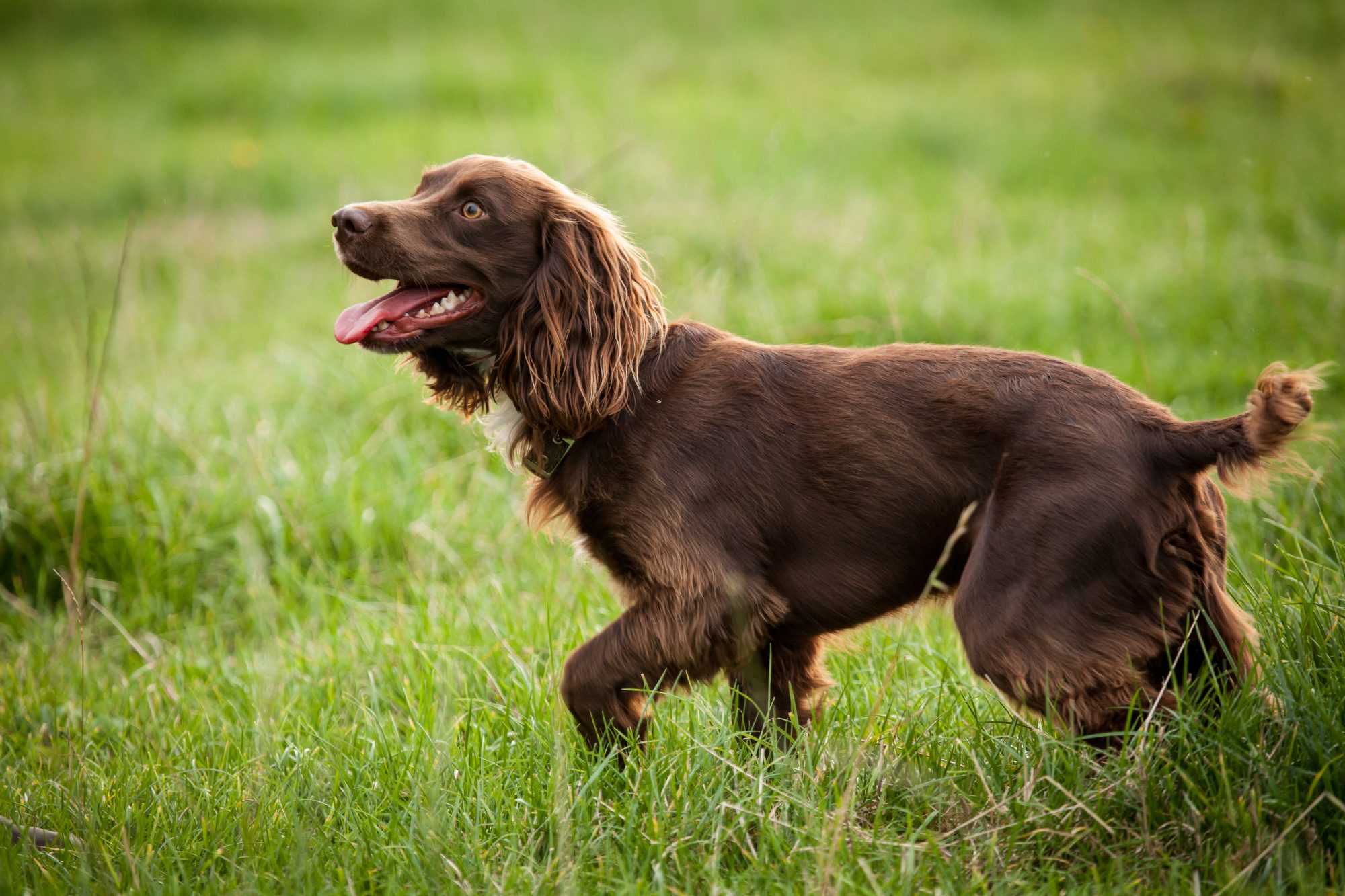 boykin spaniel in tall grass