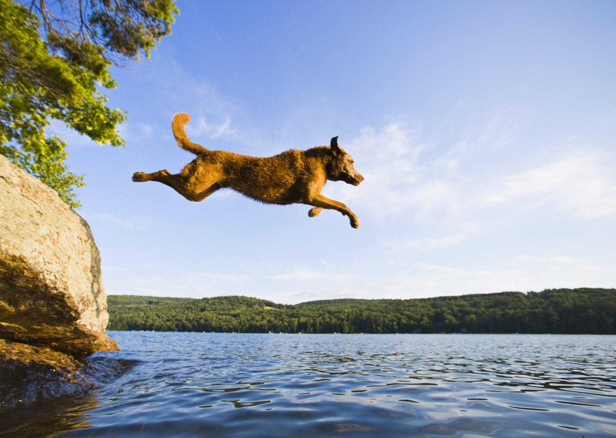 Chesapeake bay retriever jumping into lake