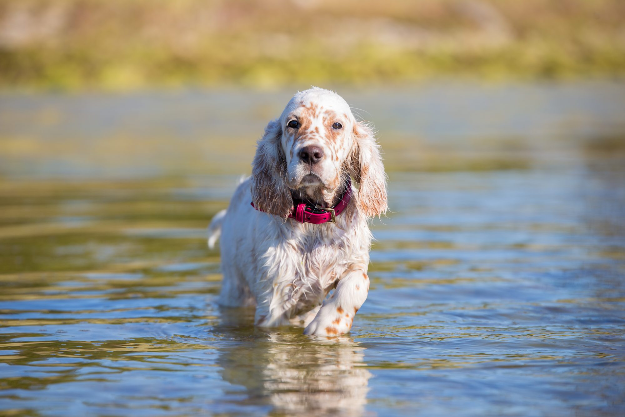 english setter puppy in pond