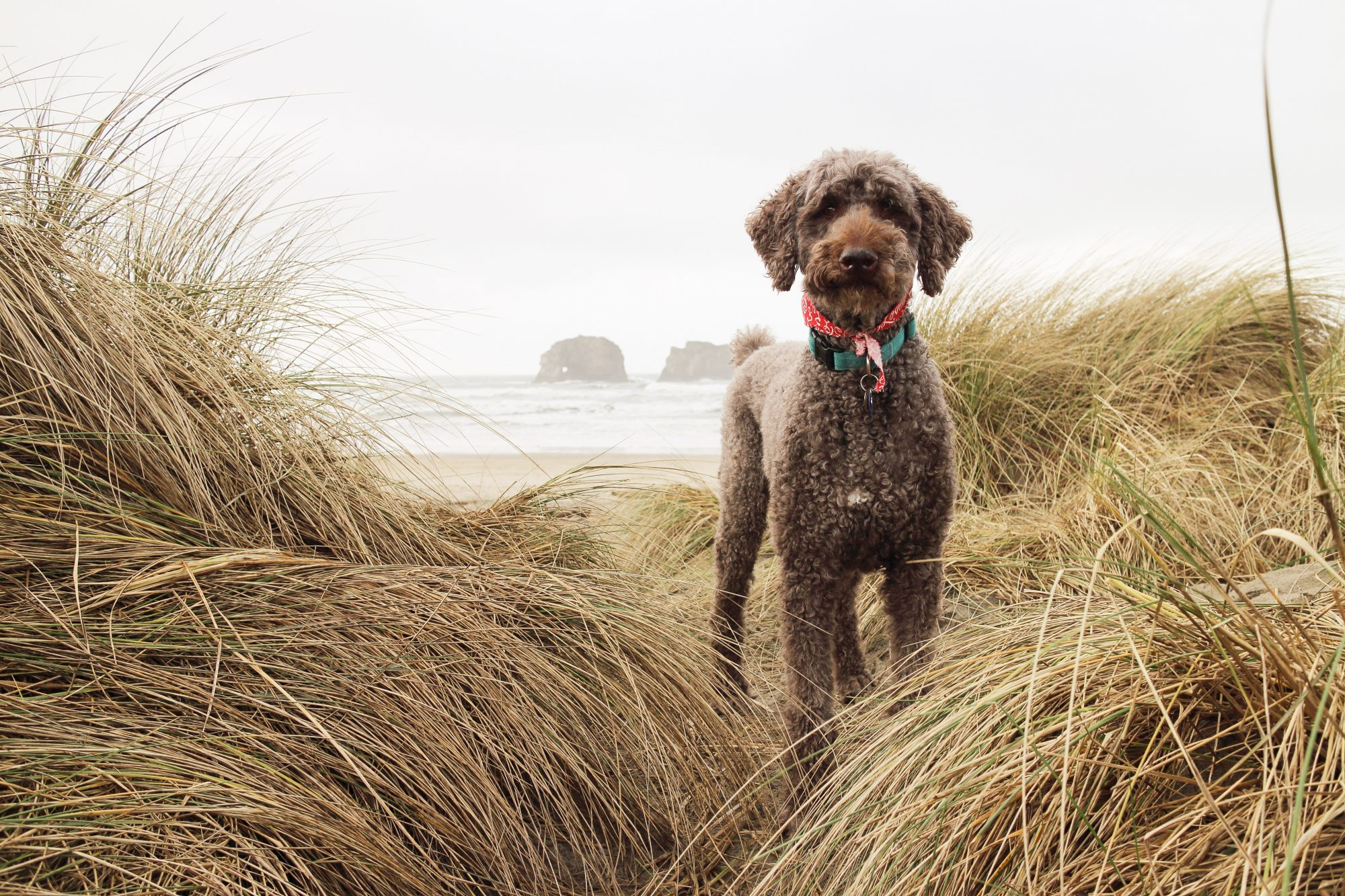 poodle in tall grass at beach