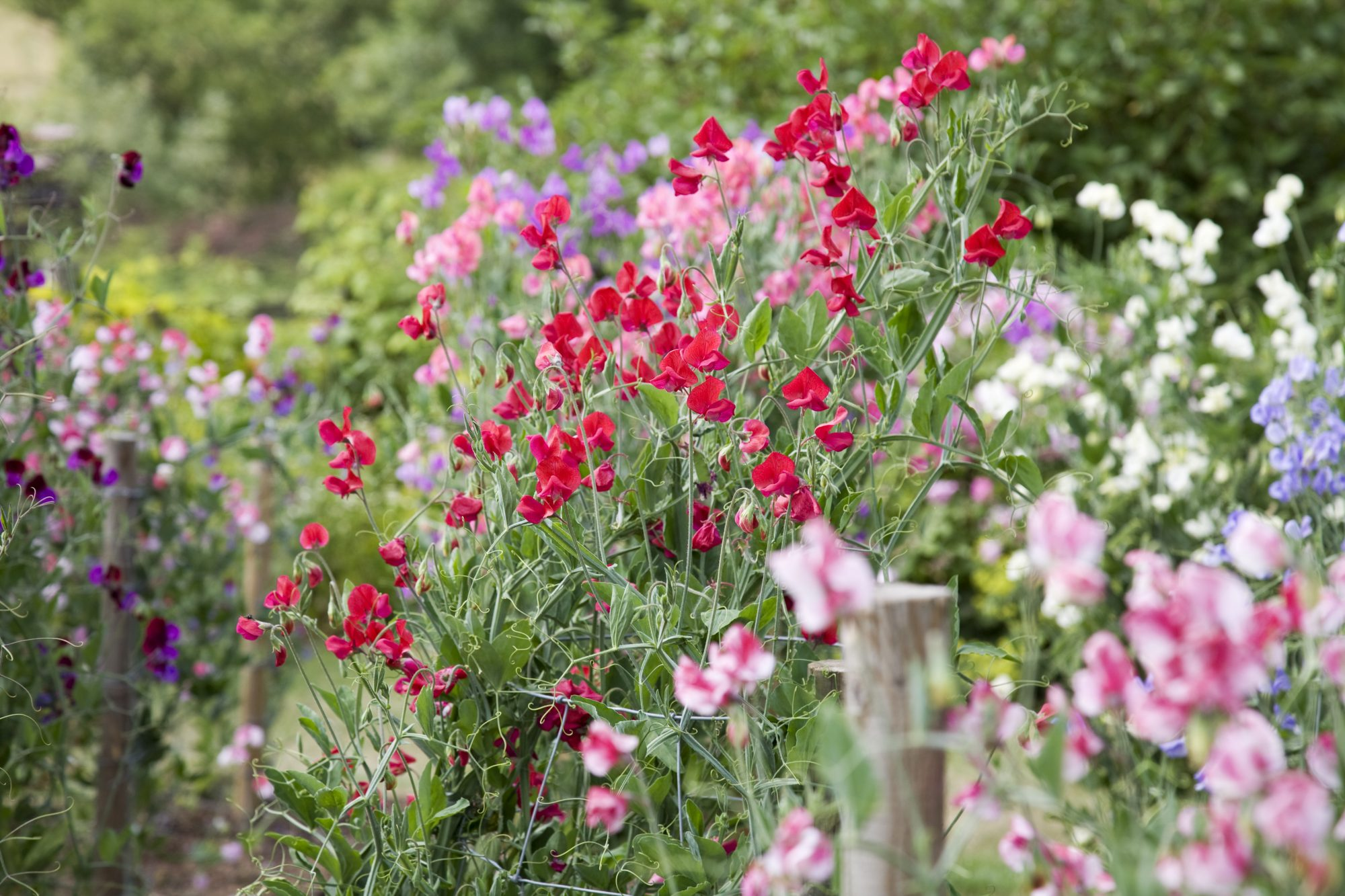 sweat pea flowers in garden