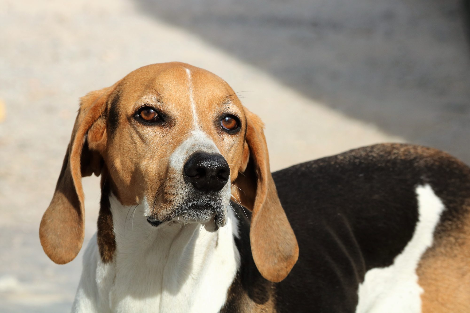 american foxhound standing outside in sun