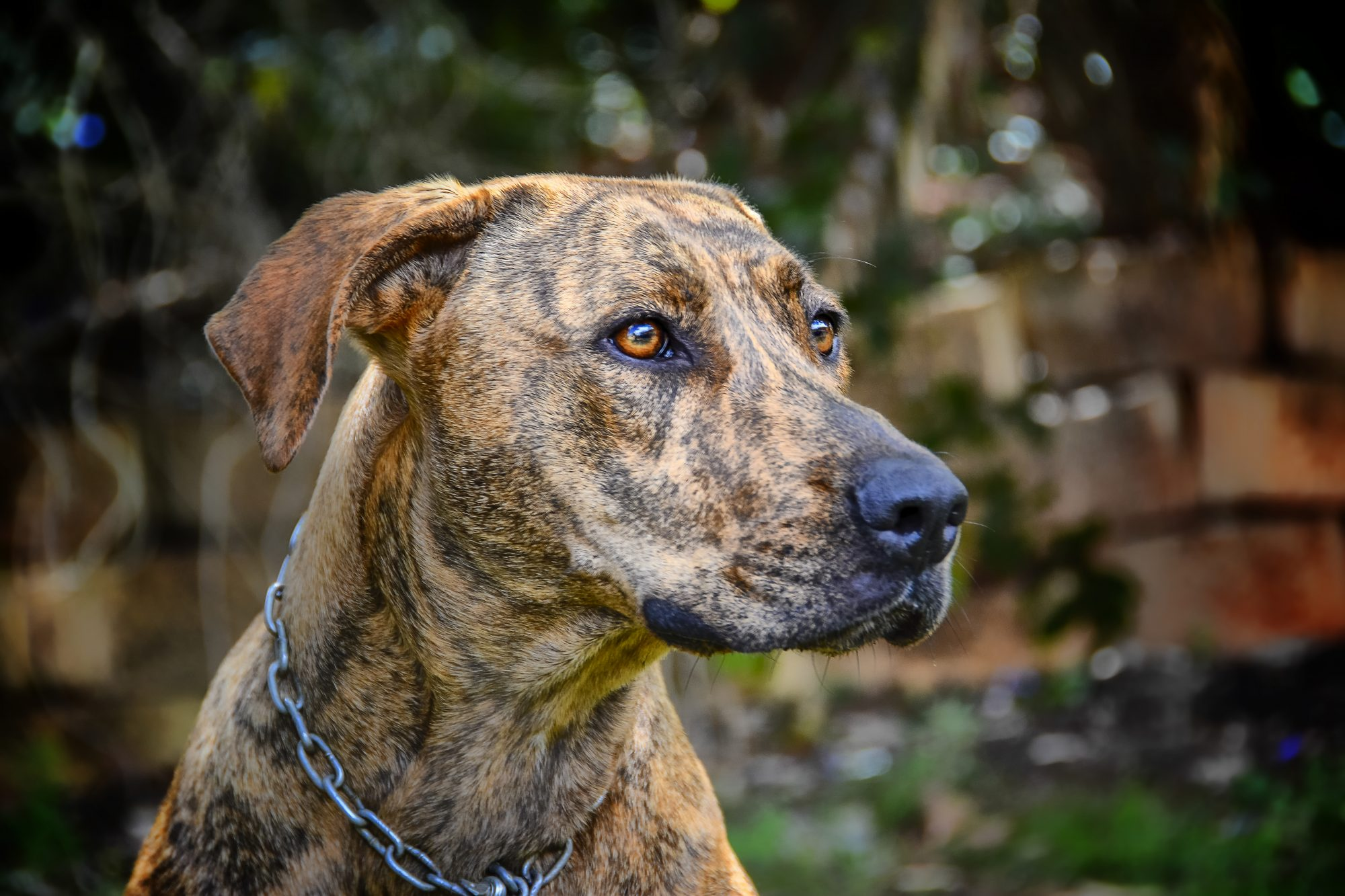 close up of plott hound dog