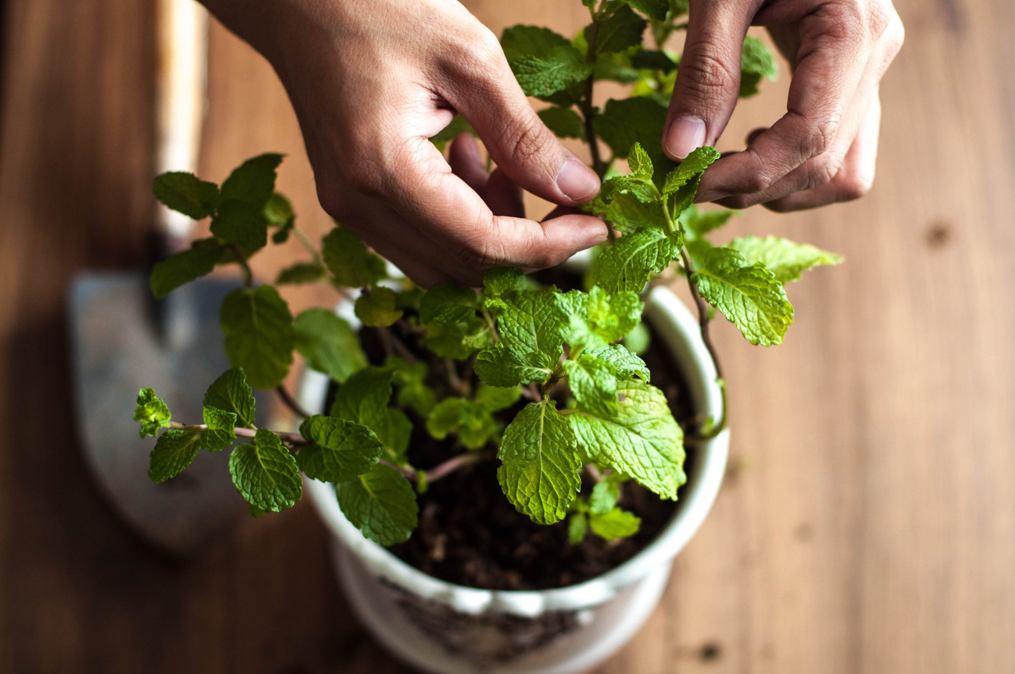caring for indoor potted mint plant