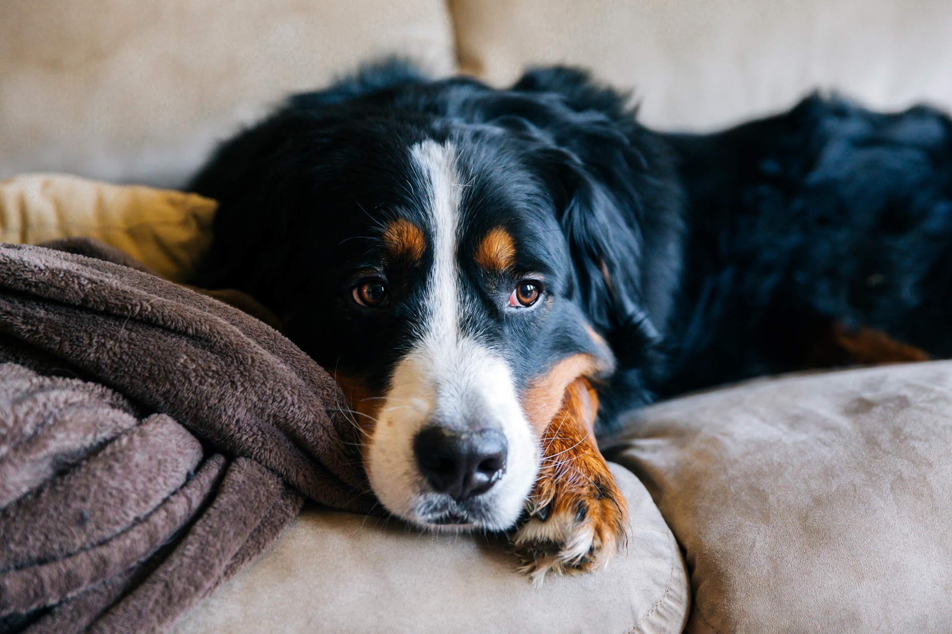 bernese mountain dog sad face laying on couch