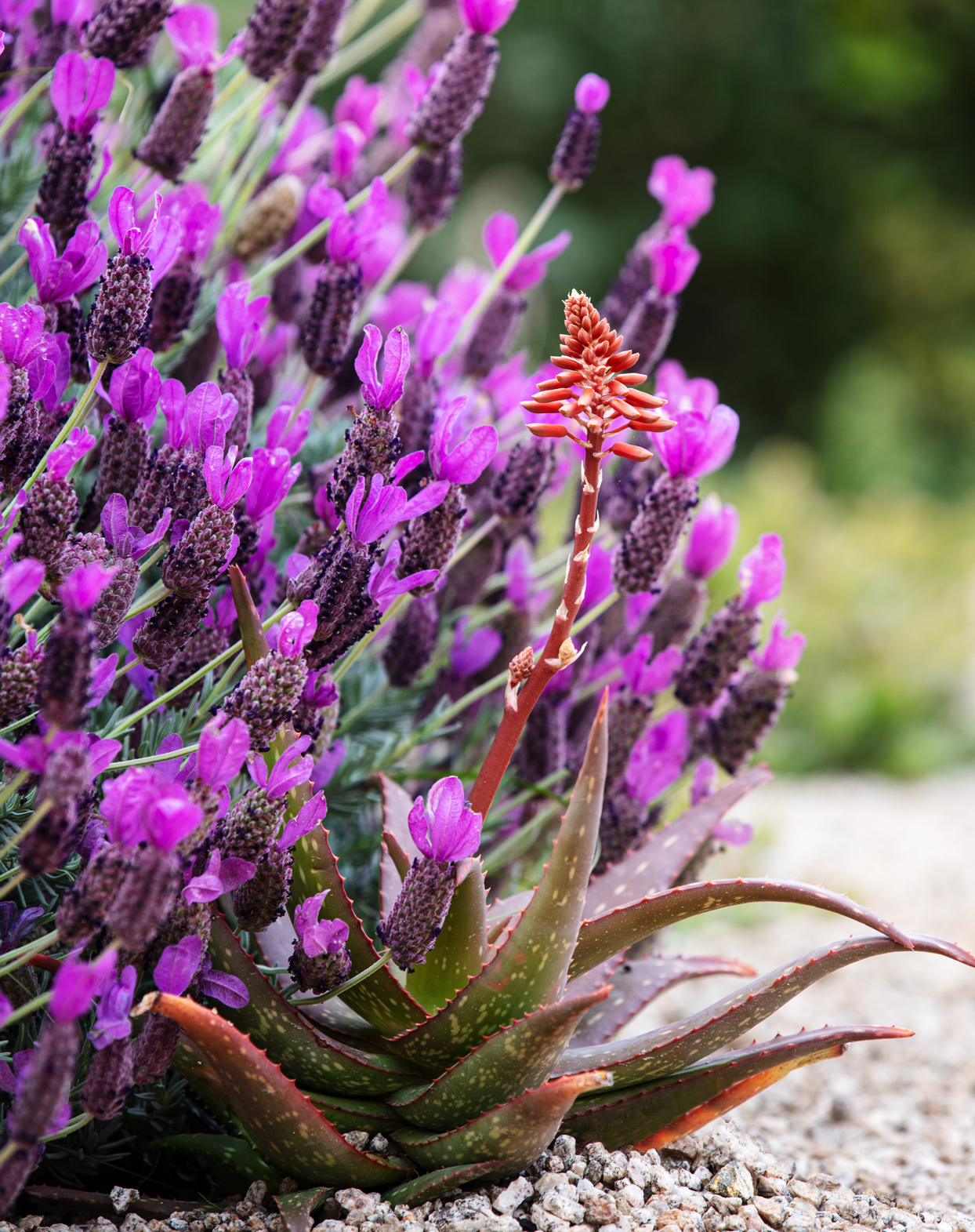 spanish lavender and rooikappie aloe