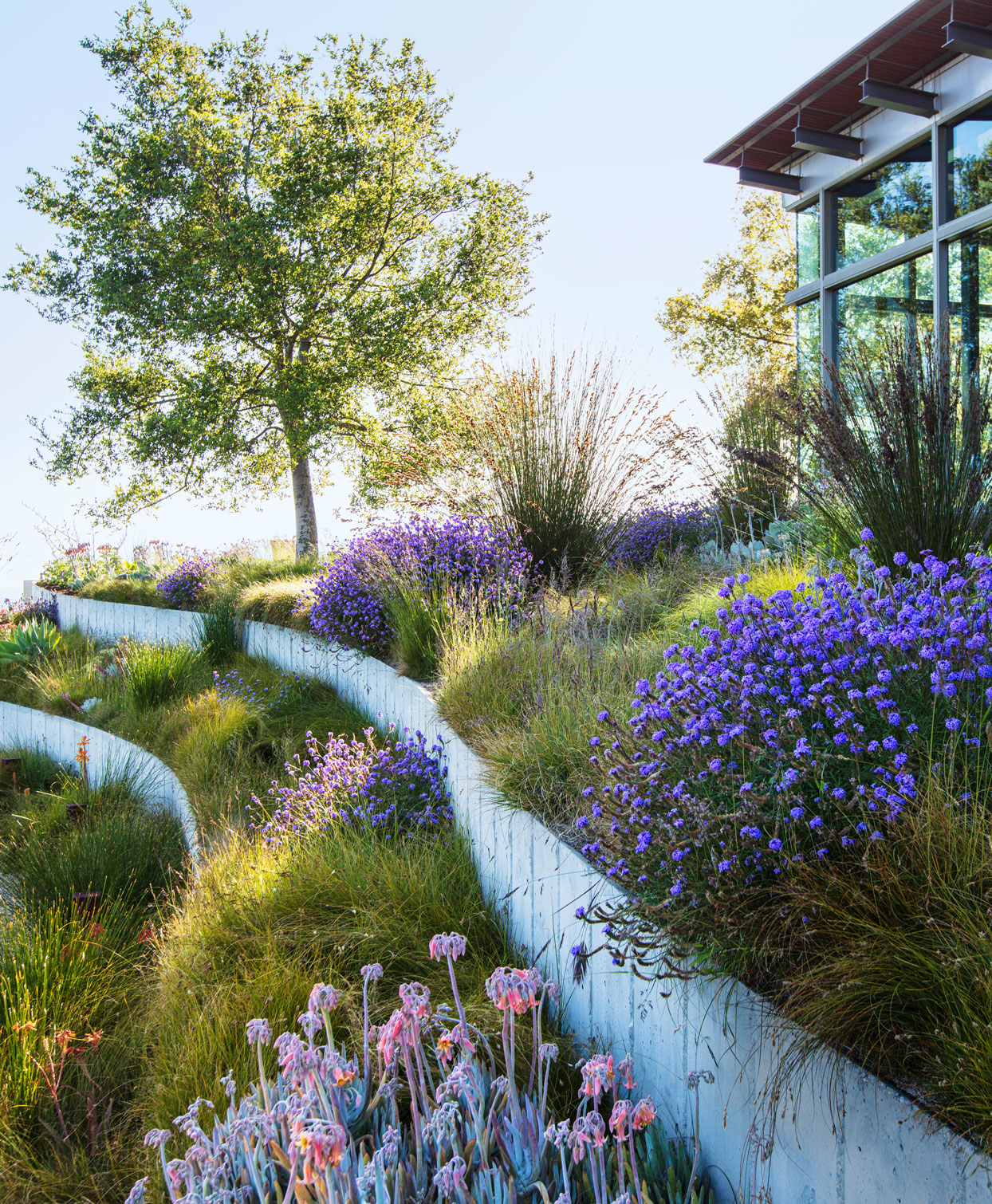 concrete retaining walls containing native grass and purple blooms