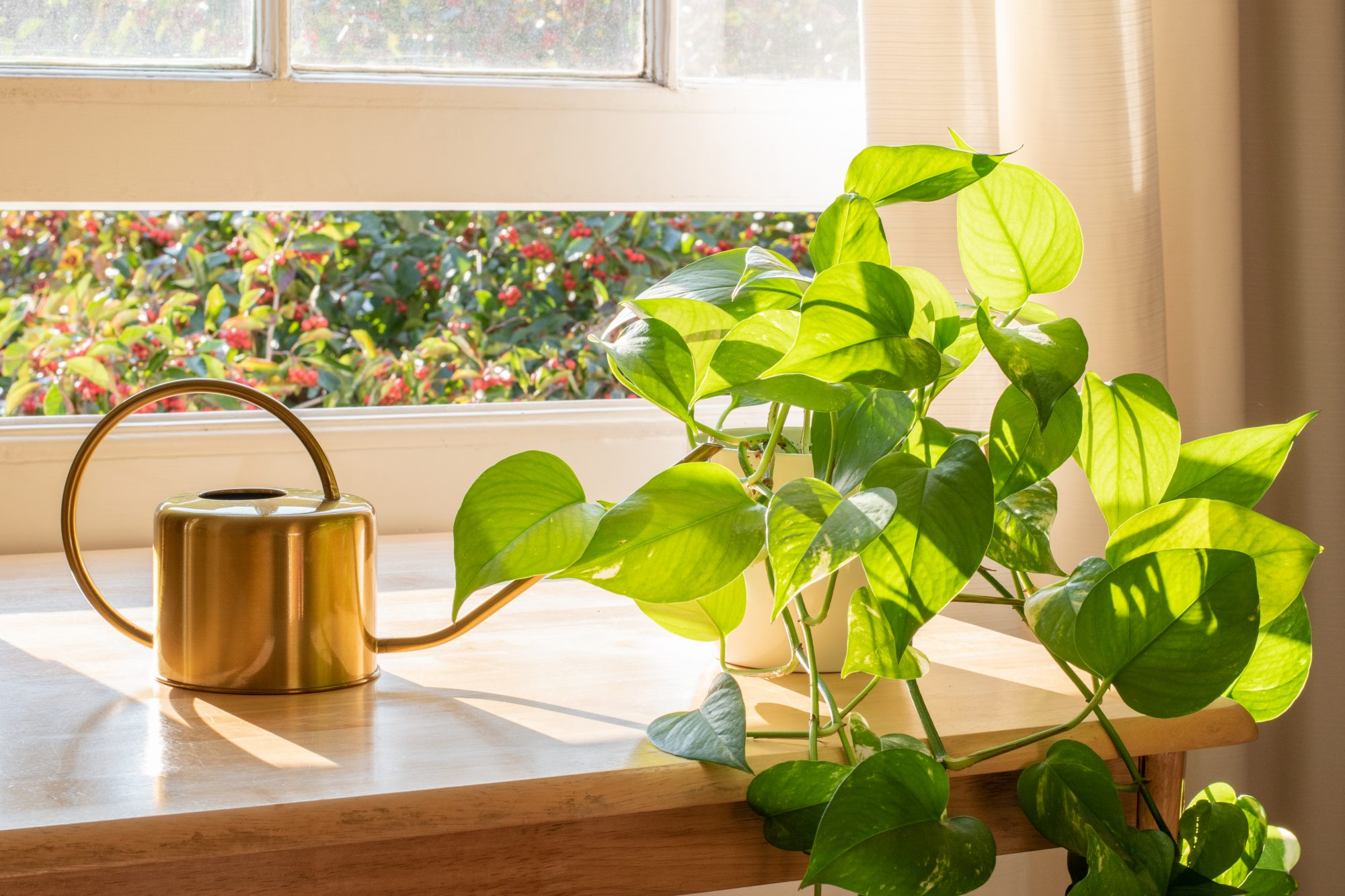potted golden pothos next to window on sill