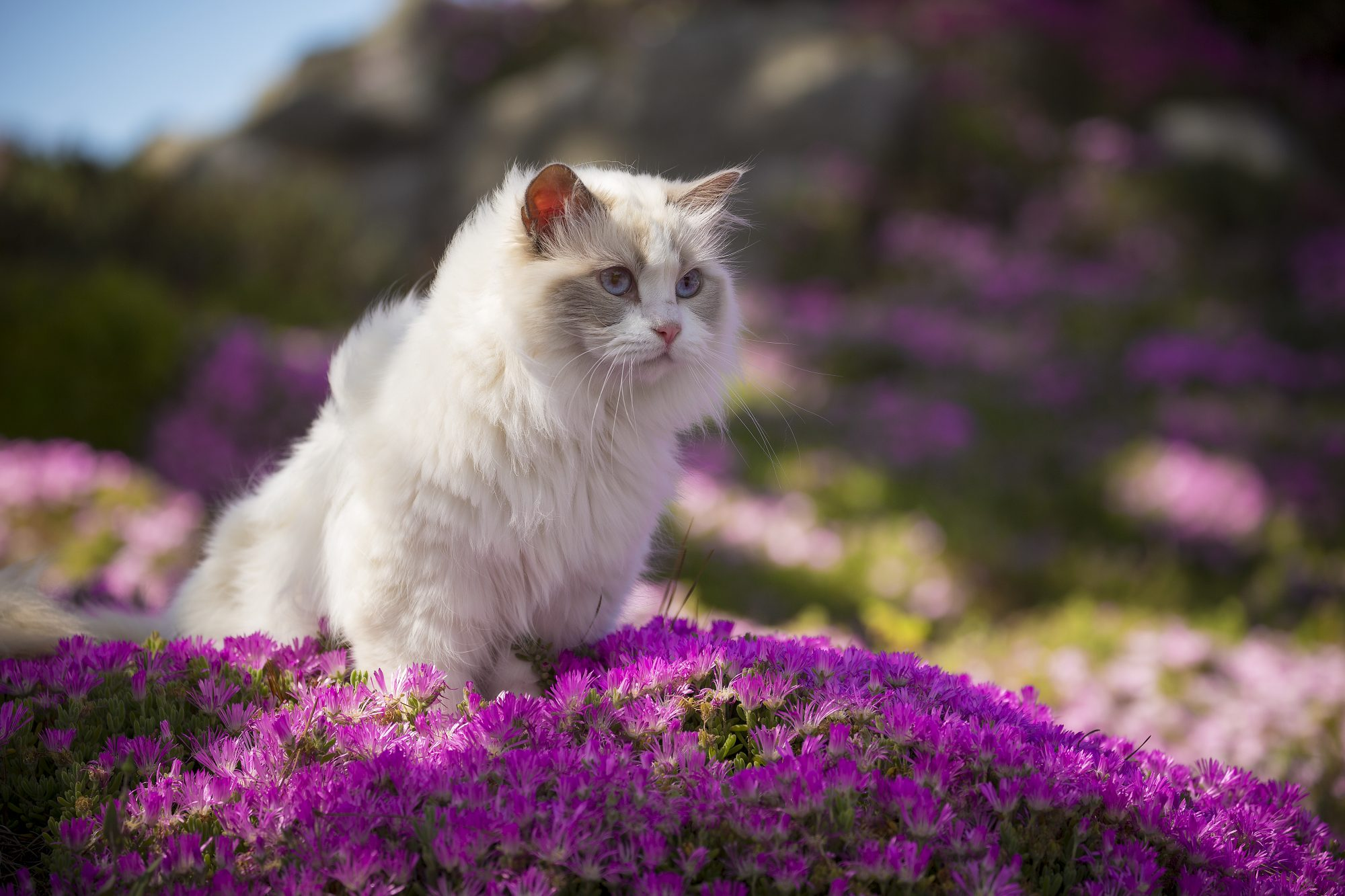 white ragdoll cat in a bed of pink flowers