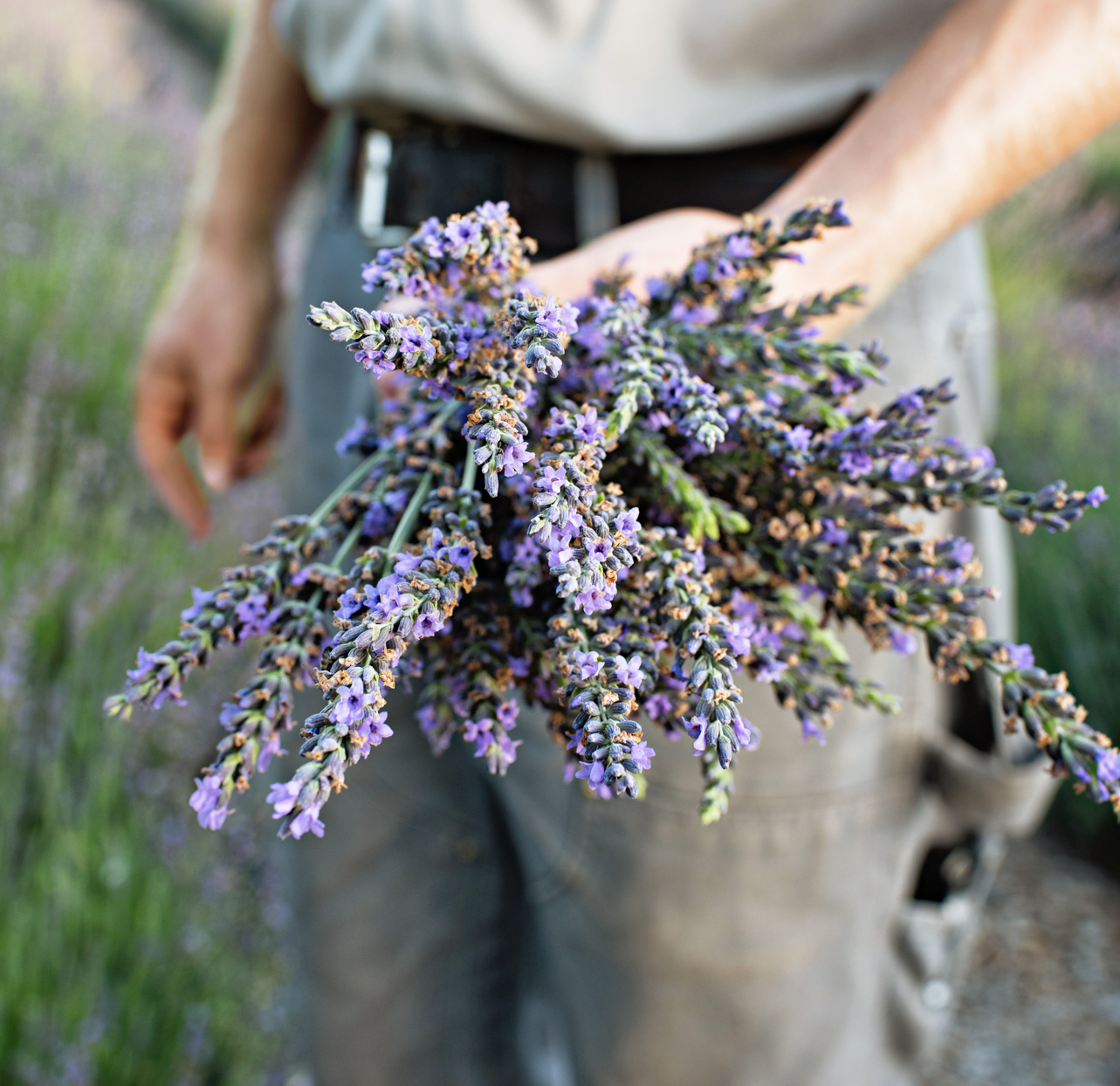 person holding bunch of lavender