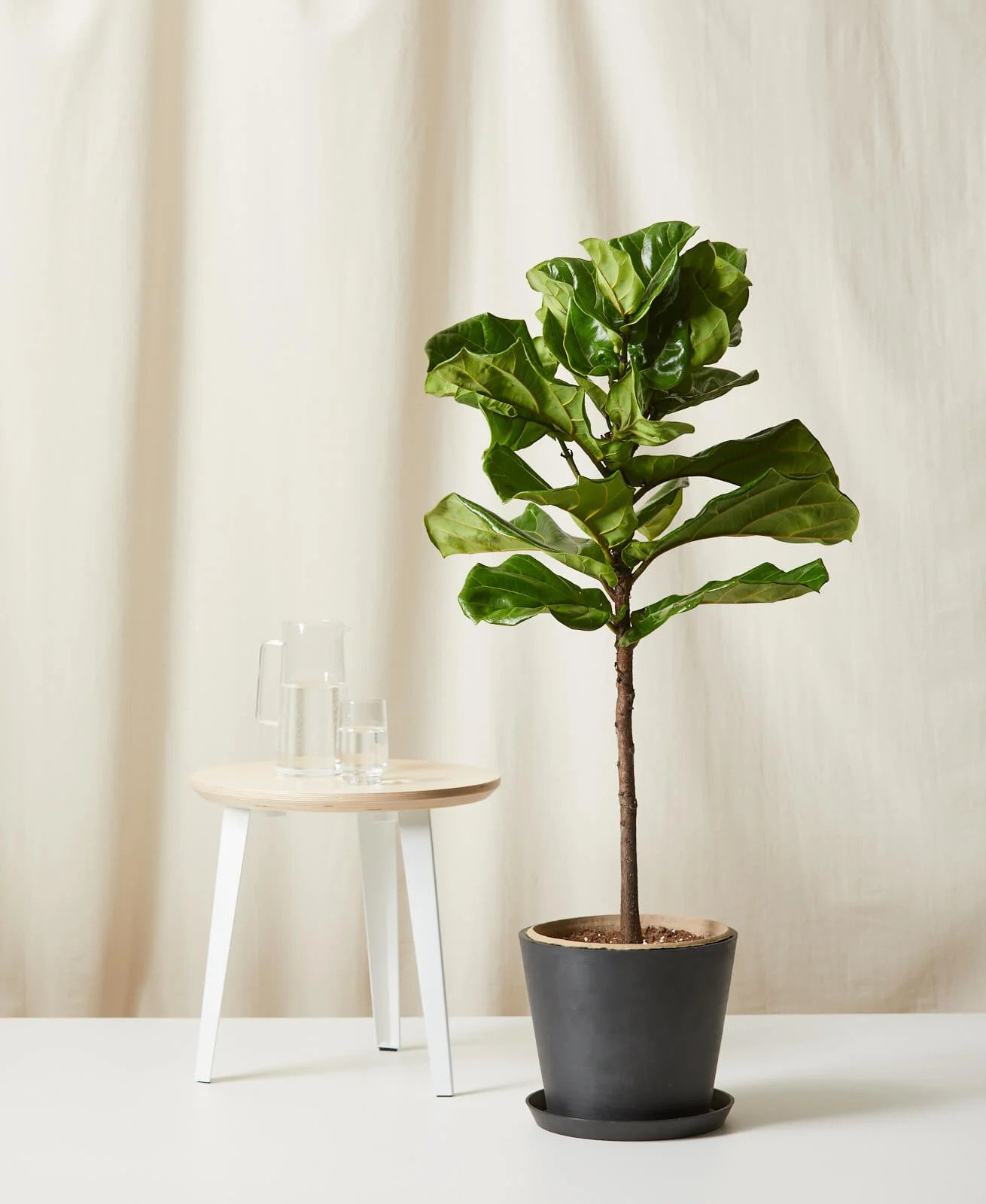 Bloomscape Fiddle Leaf Fig Tree