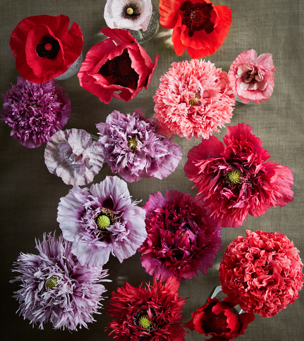 pink, purple, and red poppies