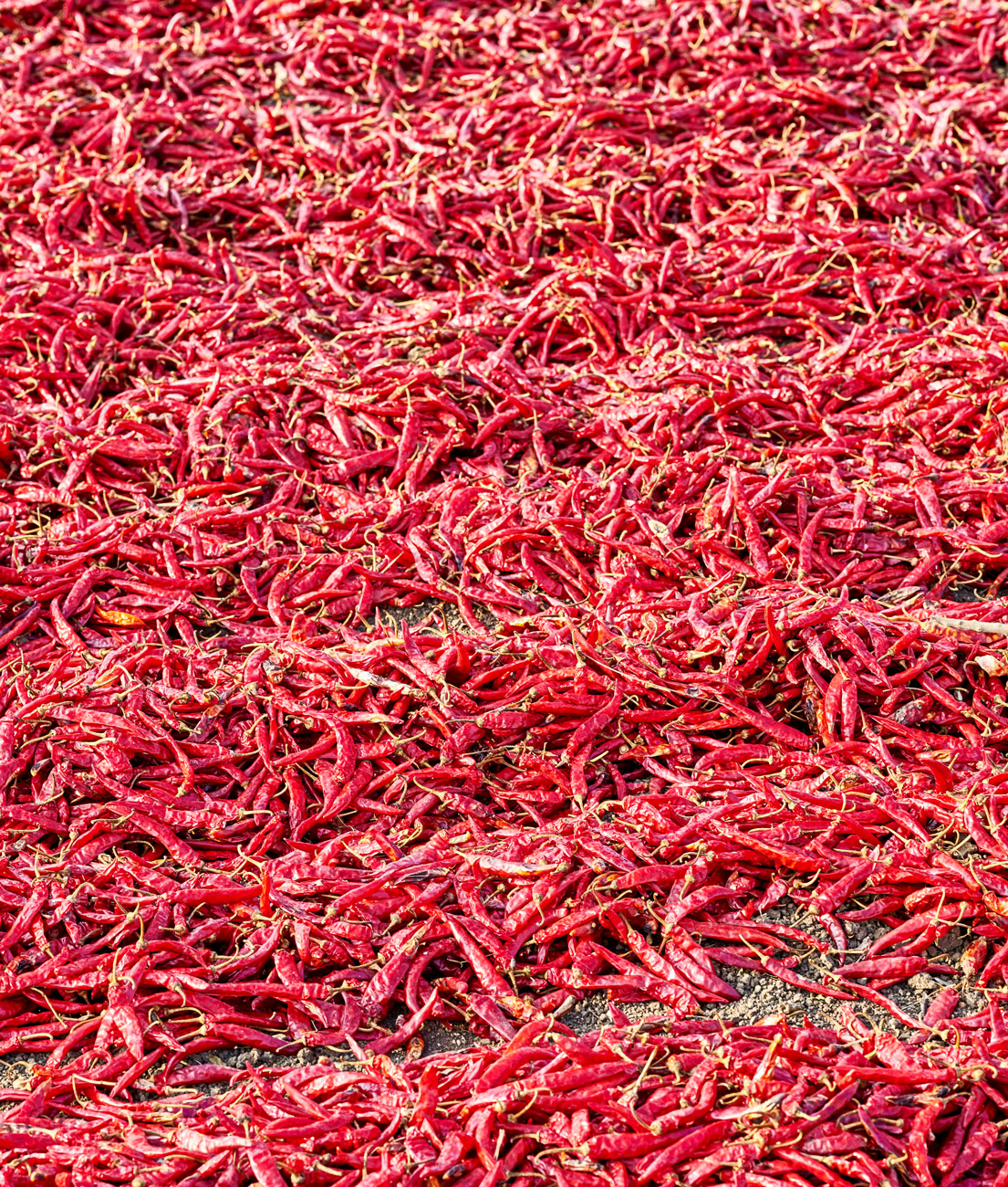 hot chiles peppers drying in the sun