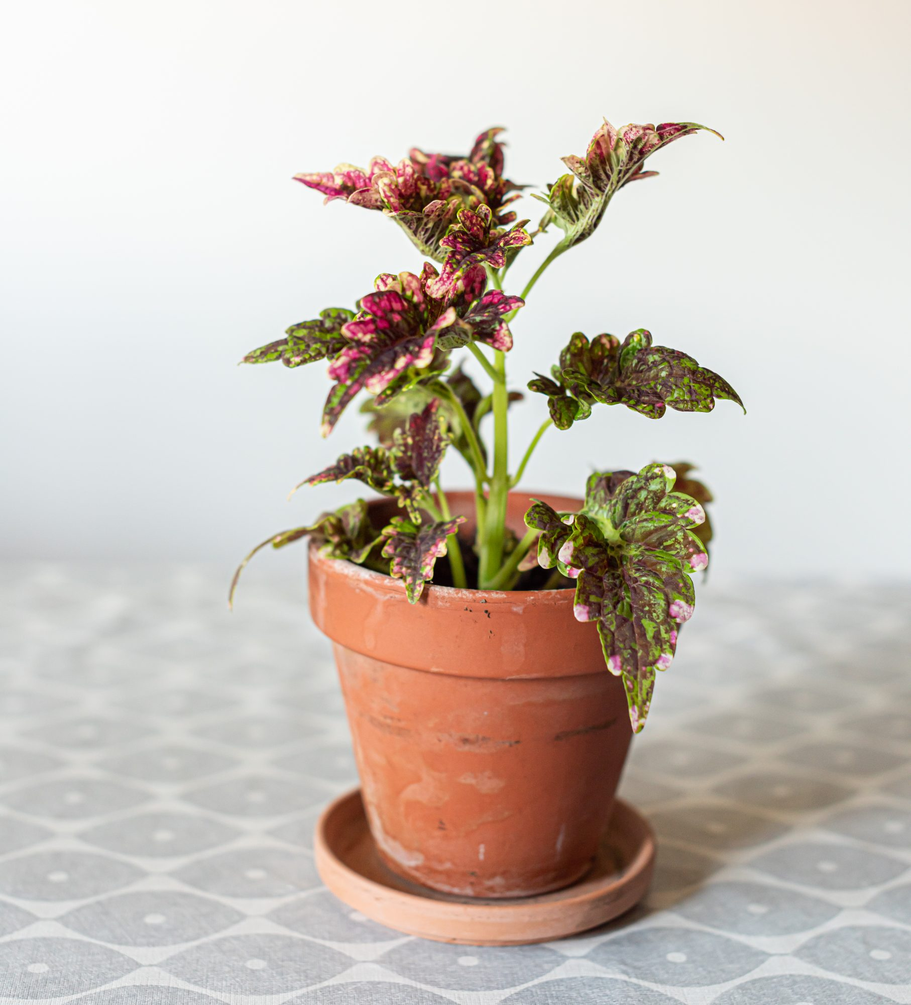 potted painted nettle plant