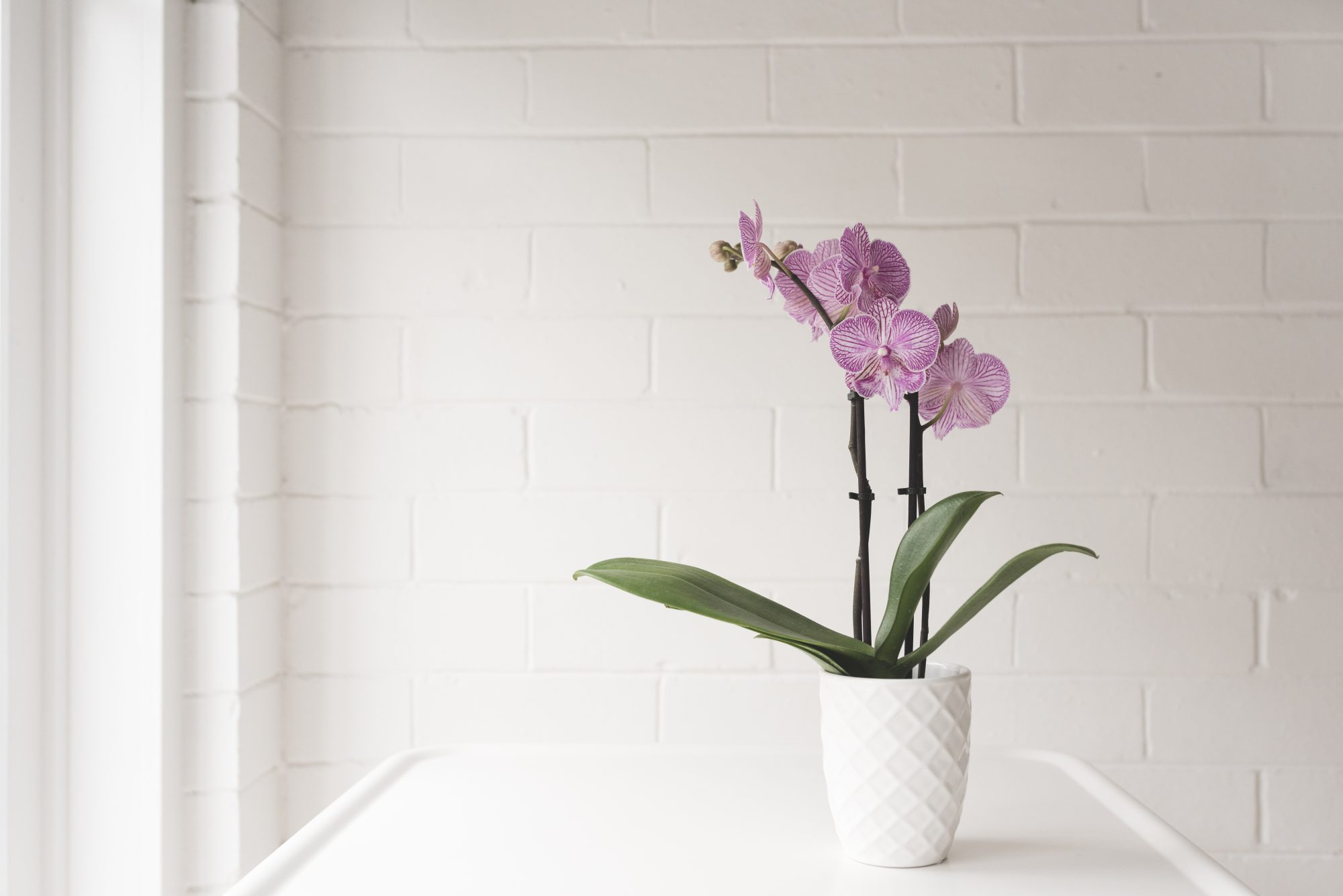 Closeup Of Purple Phalaenopsis Orchid In On White Table