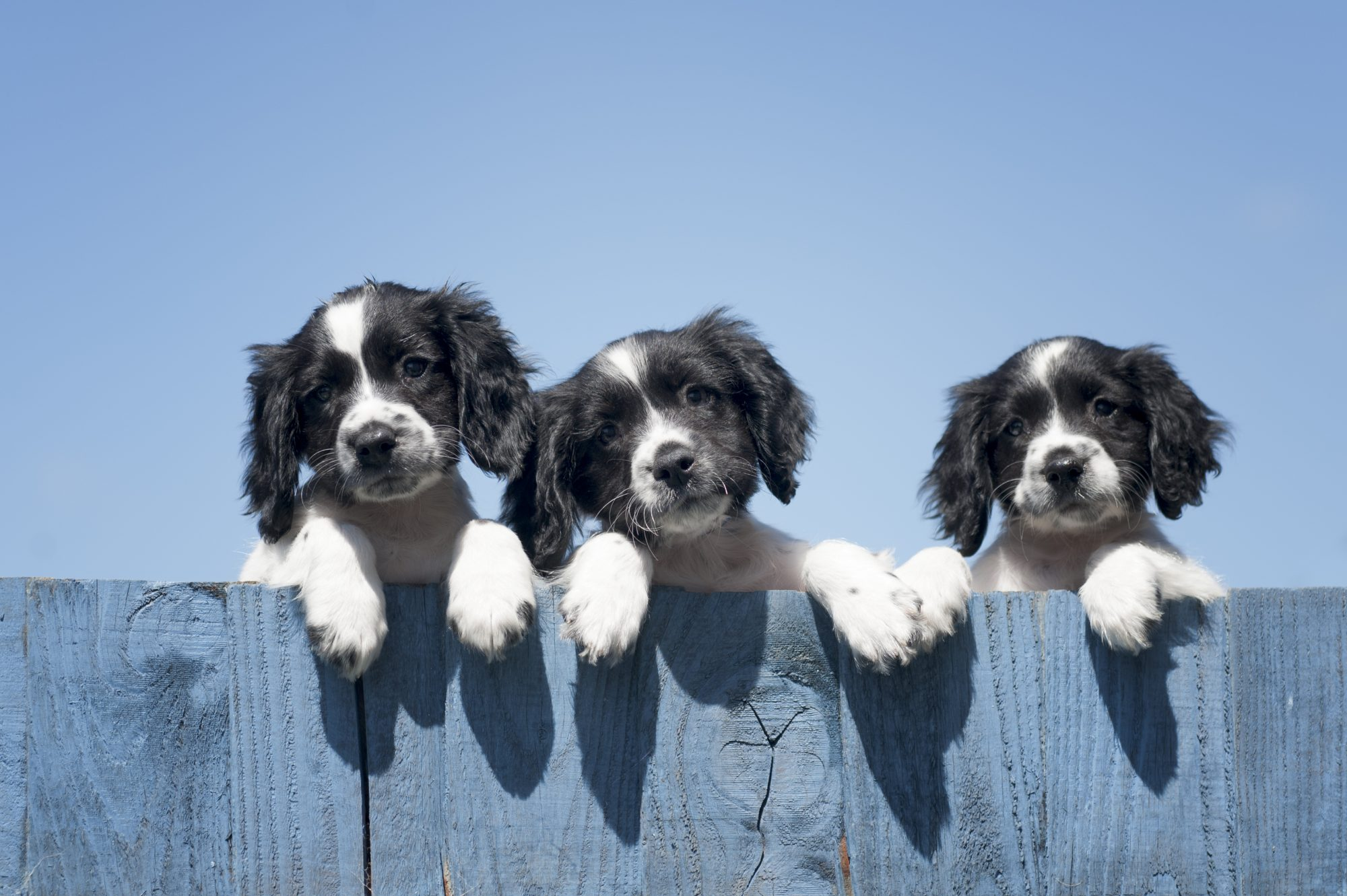 three puppies looking over fence