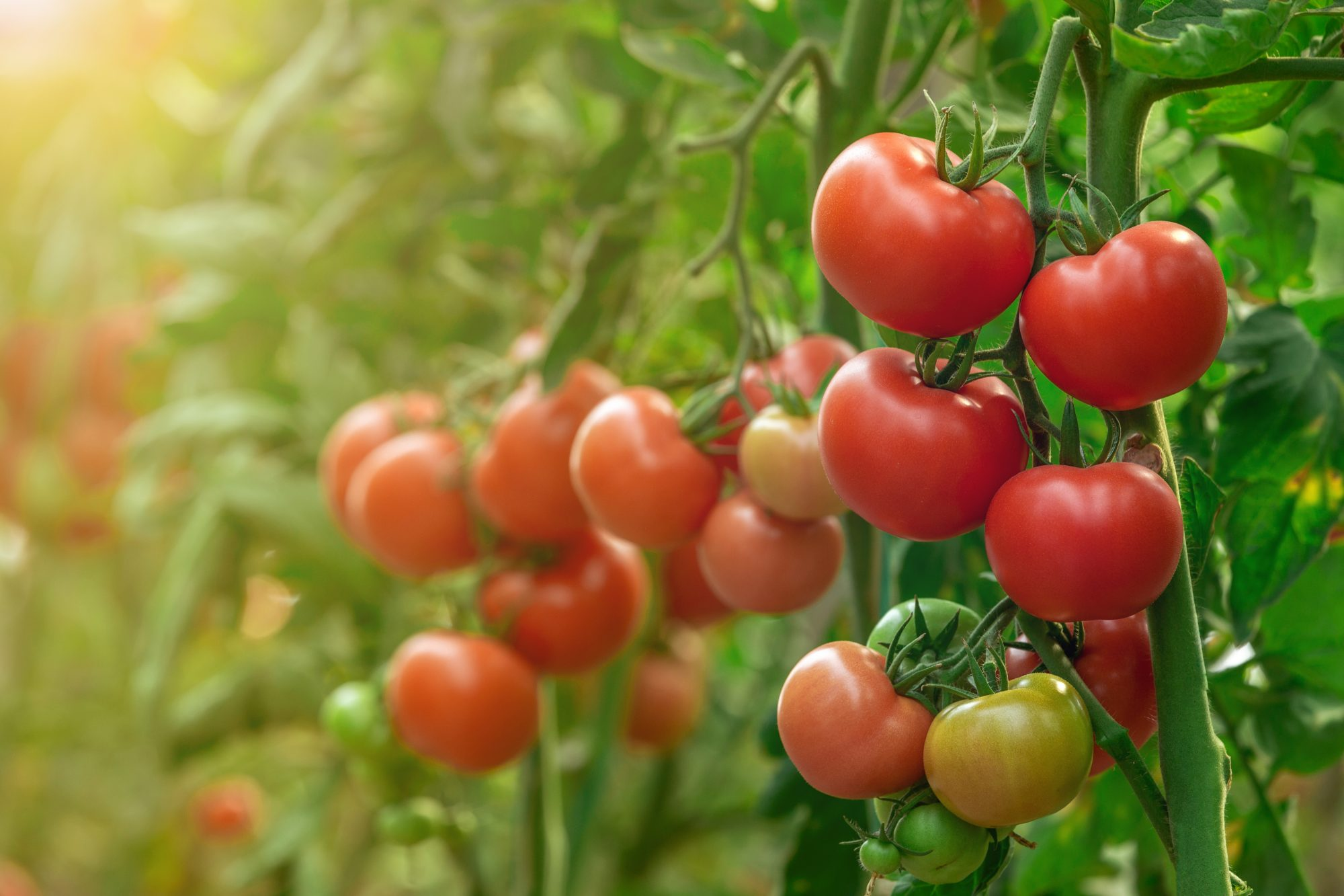 tomatoes gwoing on vine