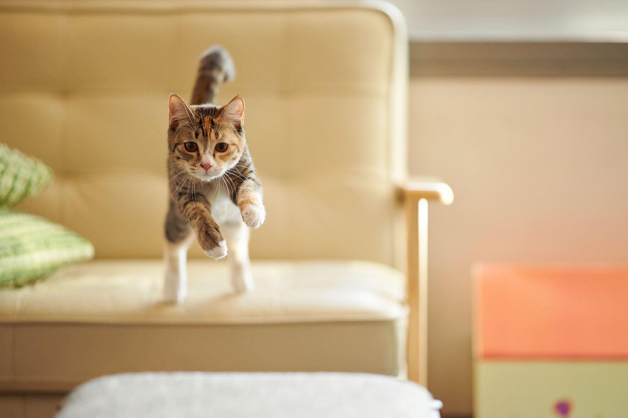 cat leaping from couch