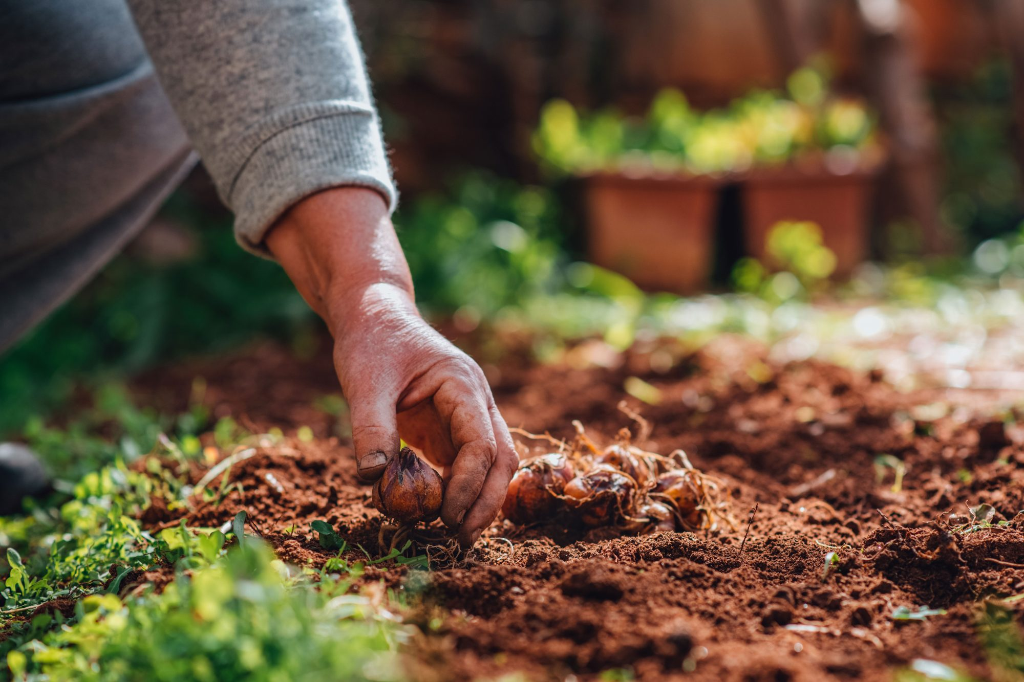planting lily bulbs in garden
