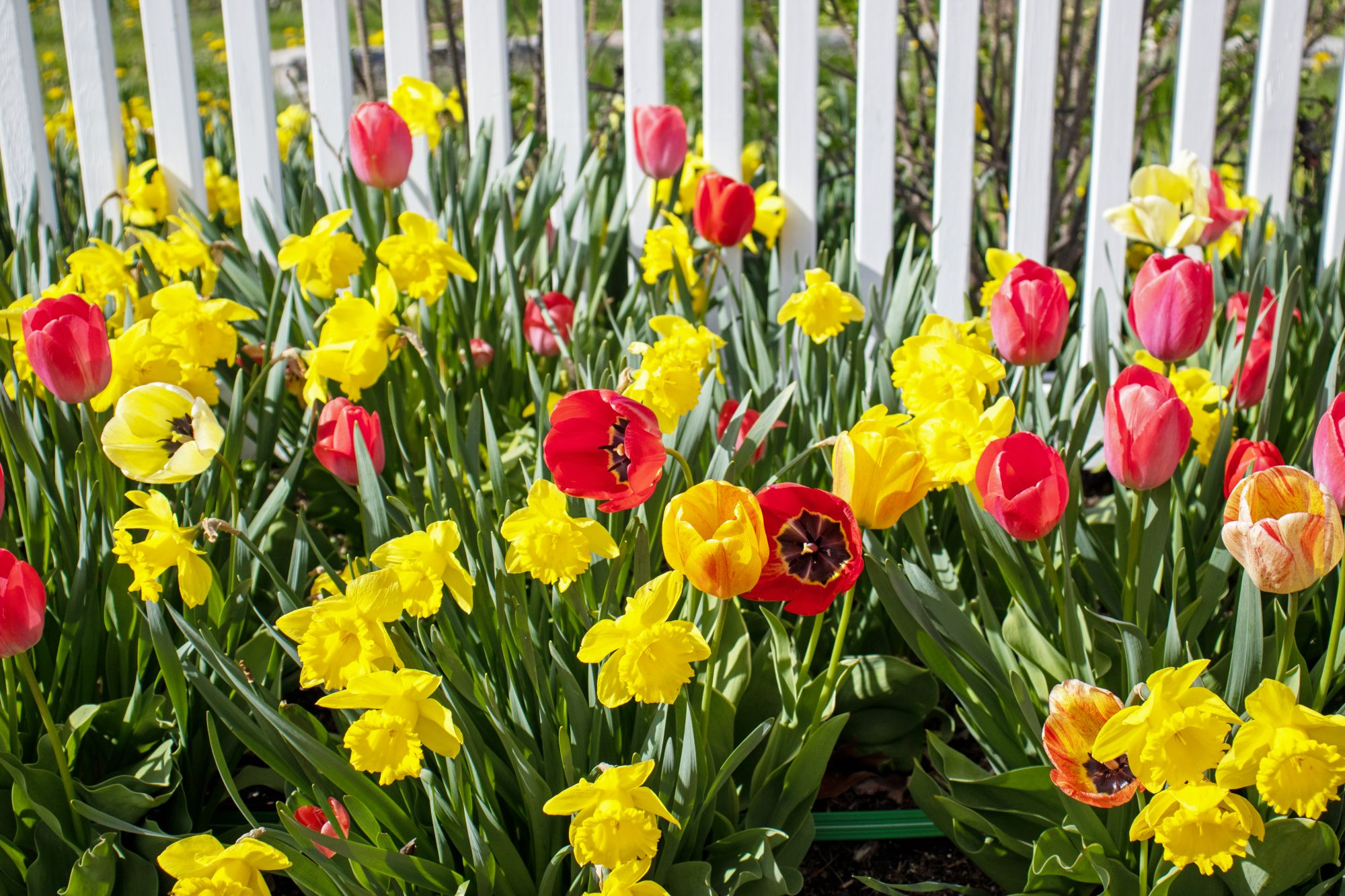 Tulip flowers and daffodils along white picket fence