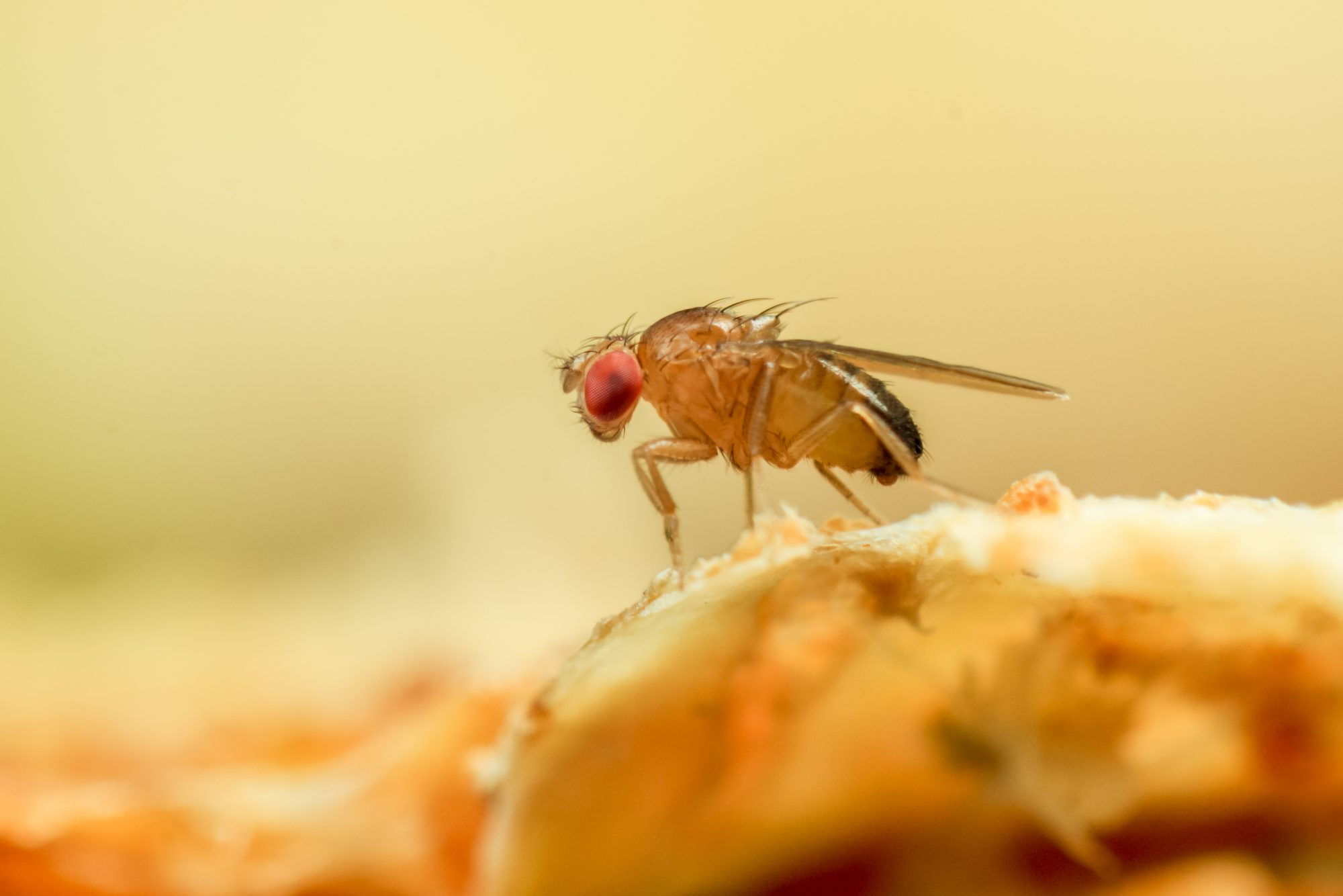 macro close up of fruit fly