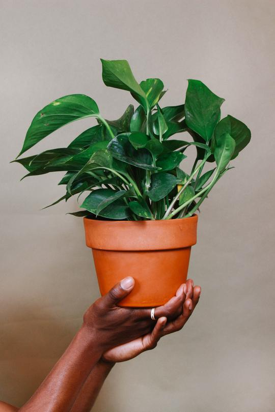 Grounded Golden Pothos