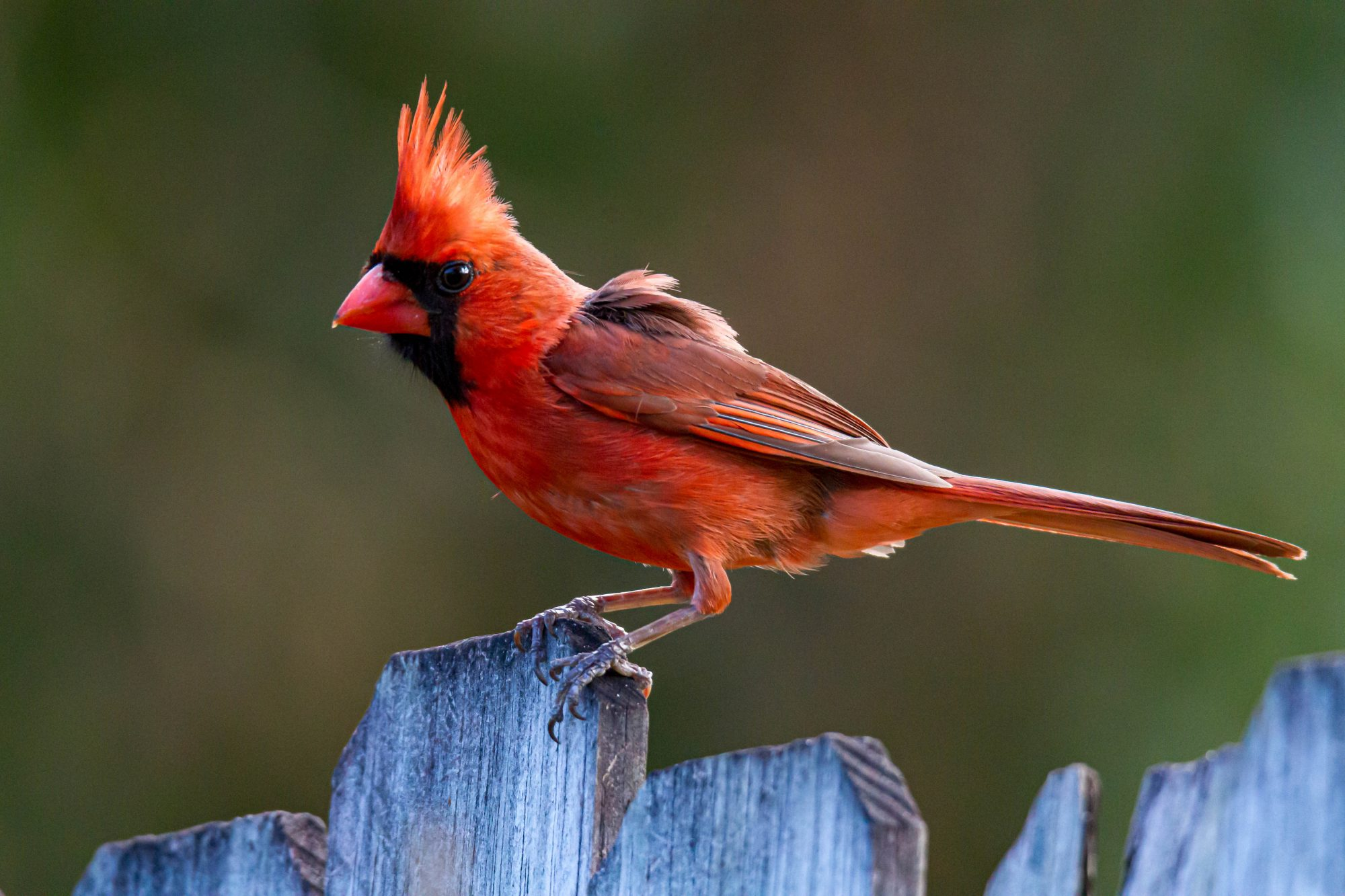 red cardinal on fend post