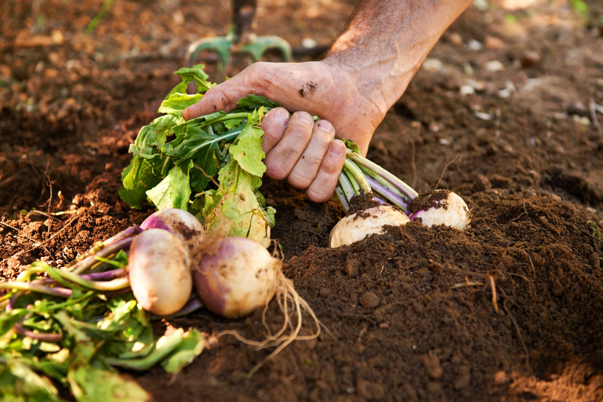 person pulling vegetables from soil