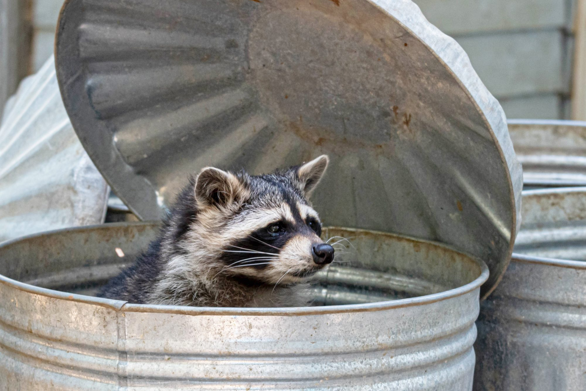 Raccoon Looking out of a Trashcan