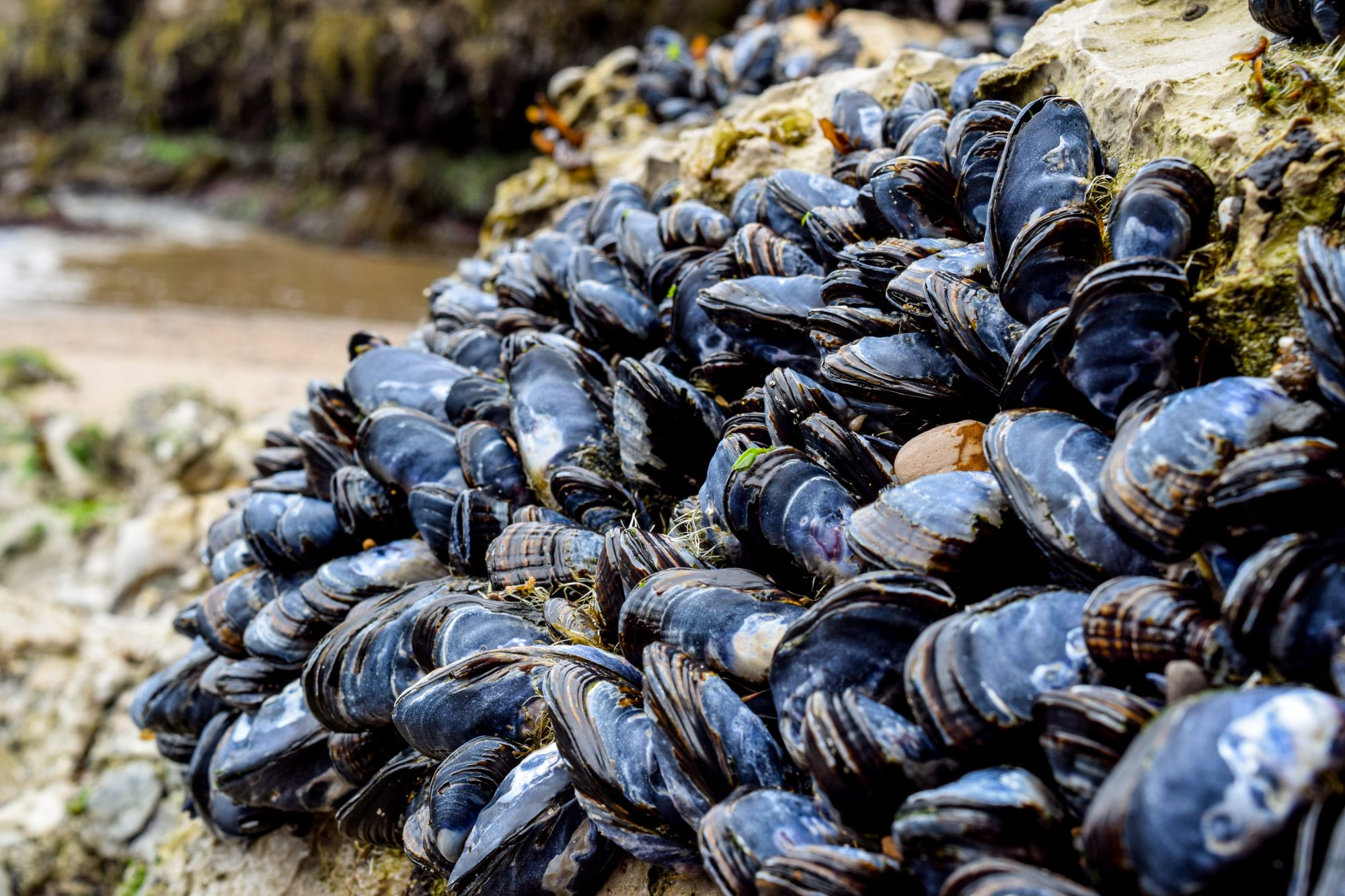 mussels growing on rock at beach
