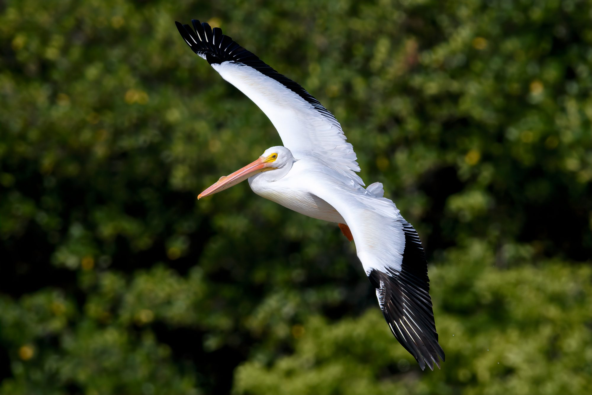 """American white pelican who migrated from Colorado in flight at J.N. """"Ding"""" Darling National Wildlife Refuge"""