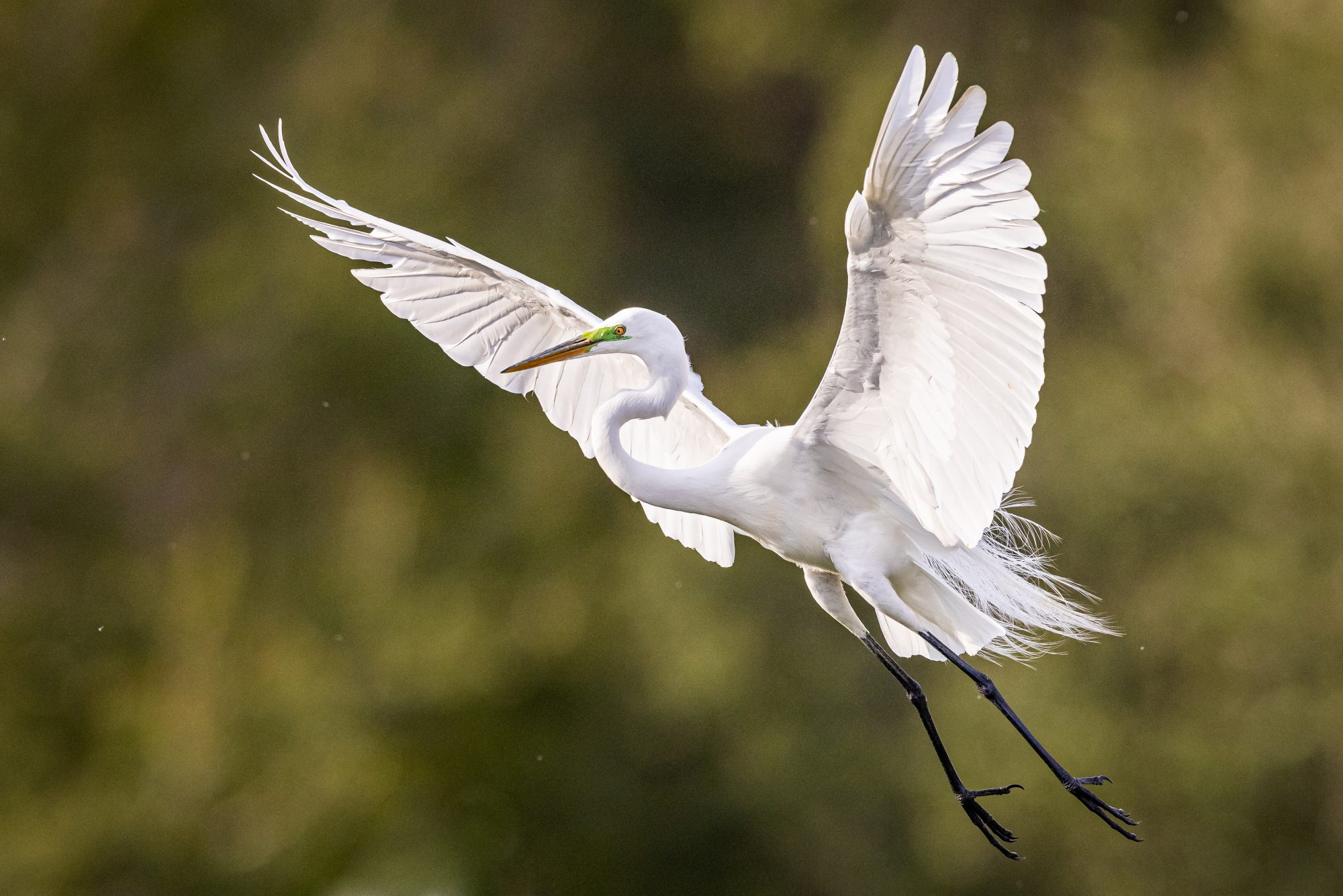 Great Egret Coming In for Landing with Outstretched Wings