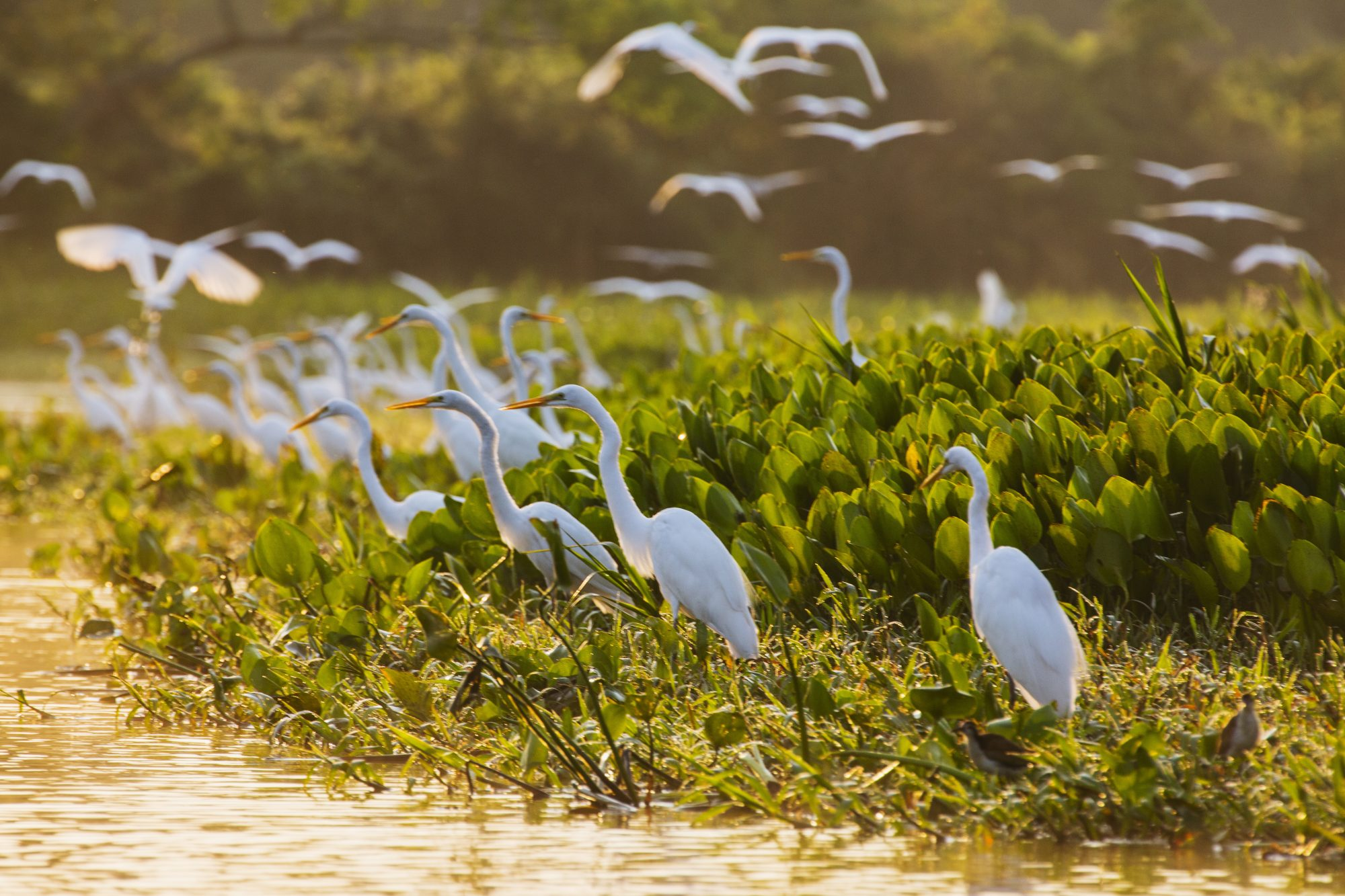 A congregation of great egrets in a marsh