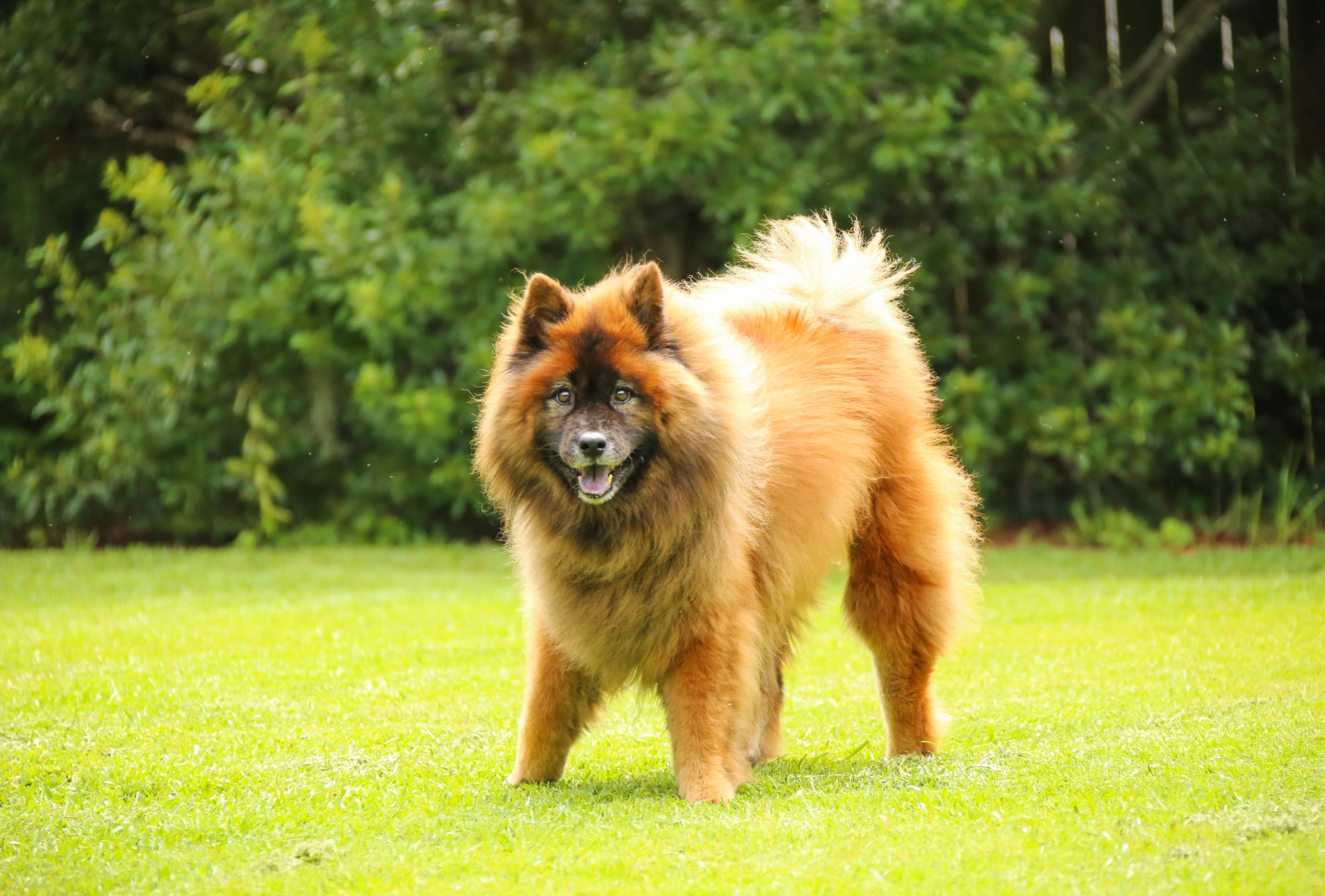 Happy and healthy eurasier dog
