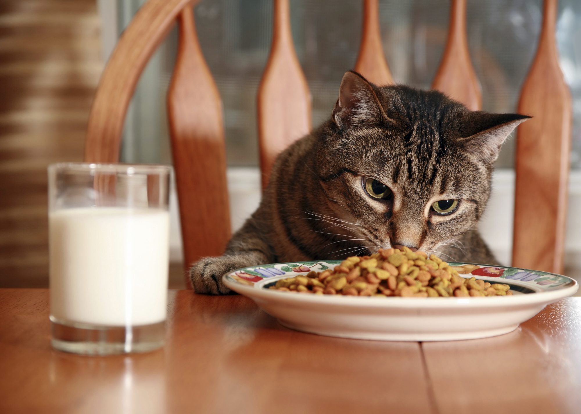 cat eating from plate and dinner table