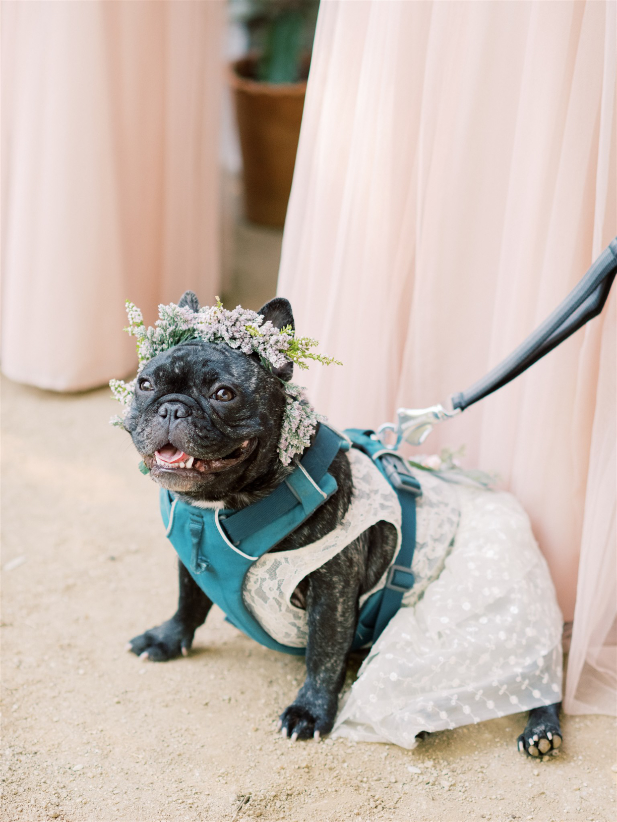 french bulldog in blue harness wearing flower crown and white dress
