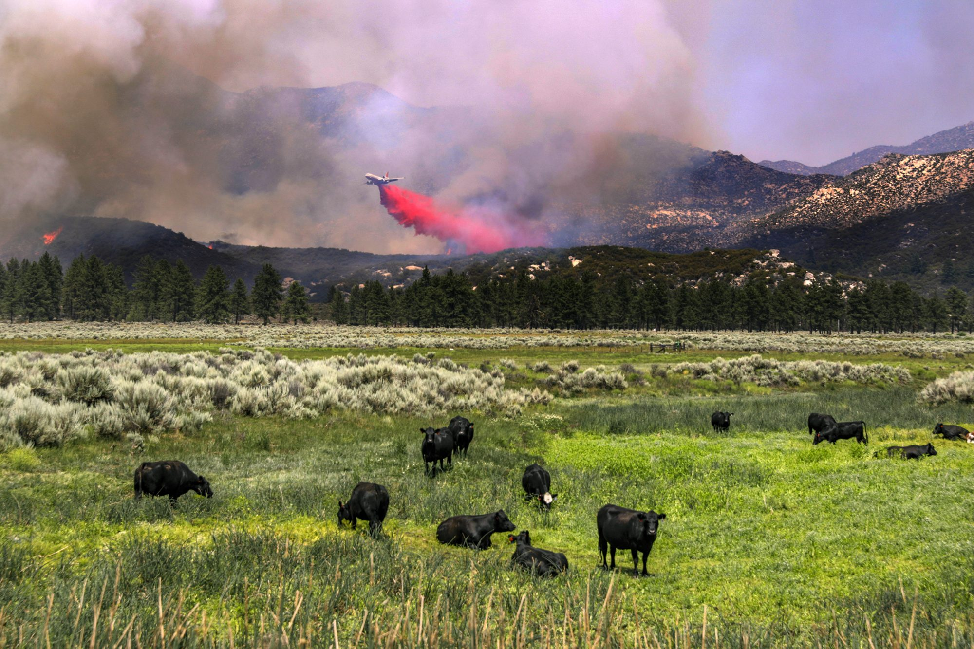 cows grazing in field as plane puts wildfire out